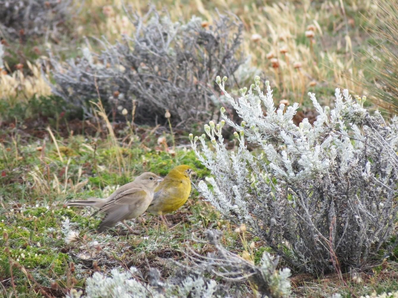 Patagonian Yellow-Finch - Ash Allnutt