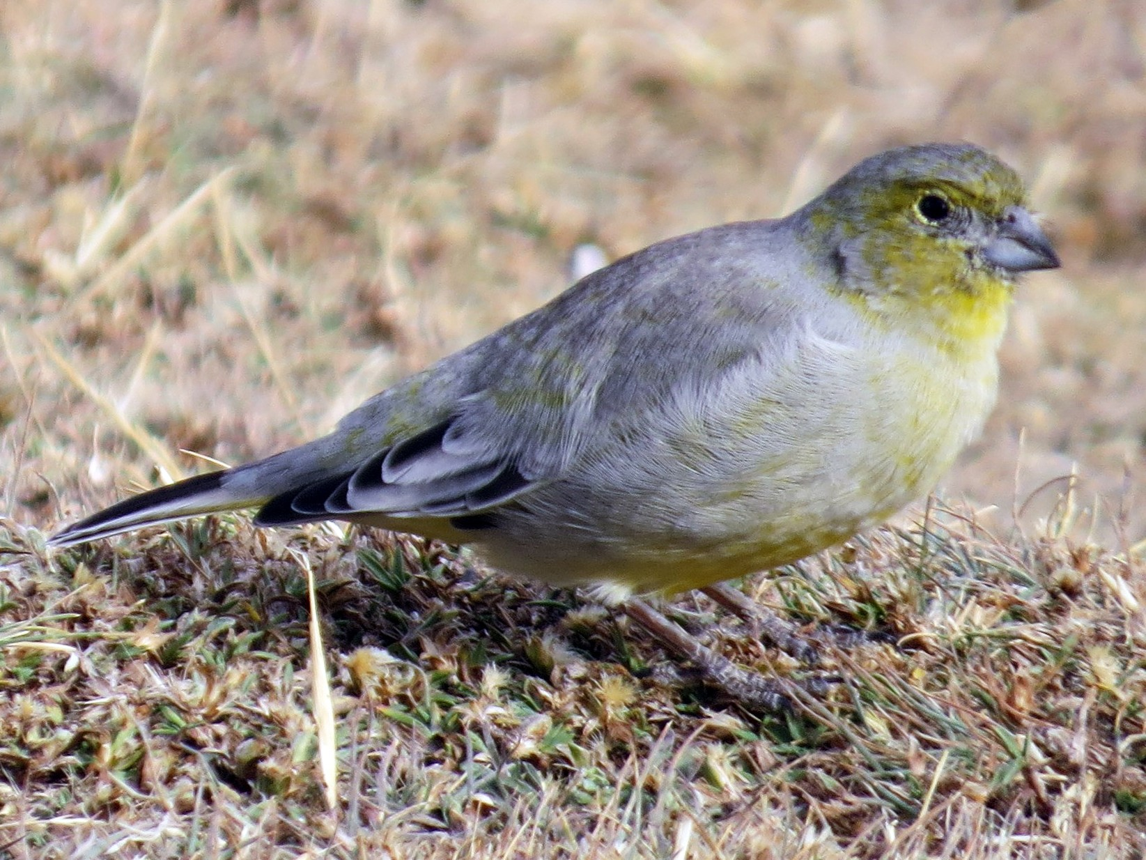Patagonian Yellow-Finch - Todd Pepper
