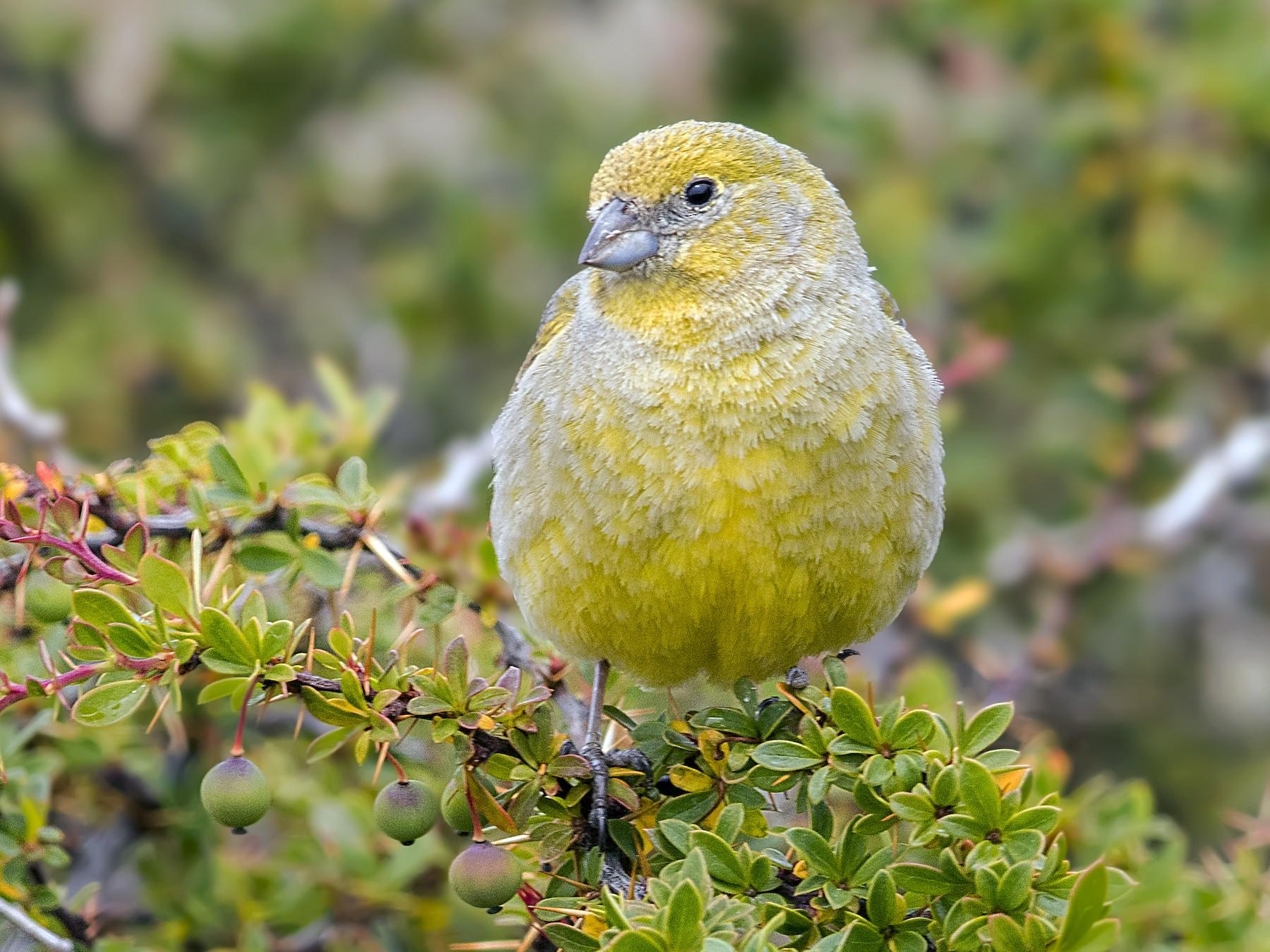 Patagonian Yellow-Finch - Pio Marshall