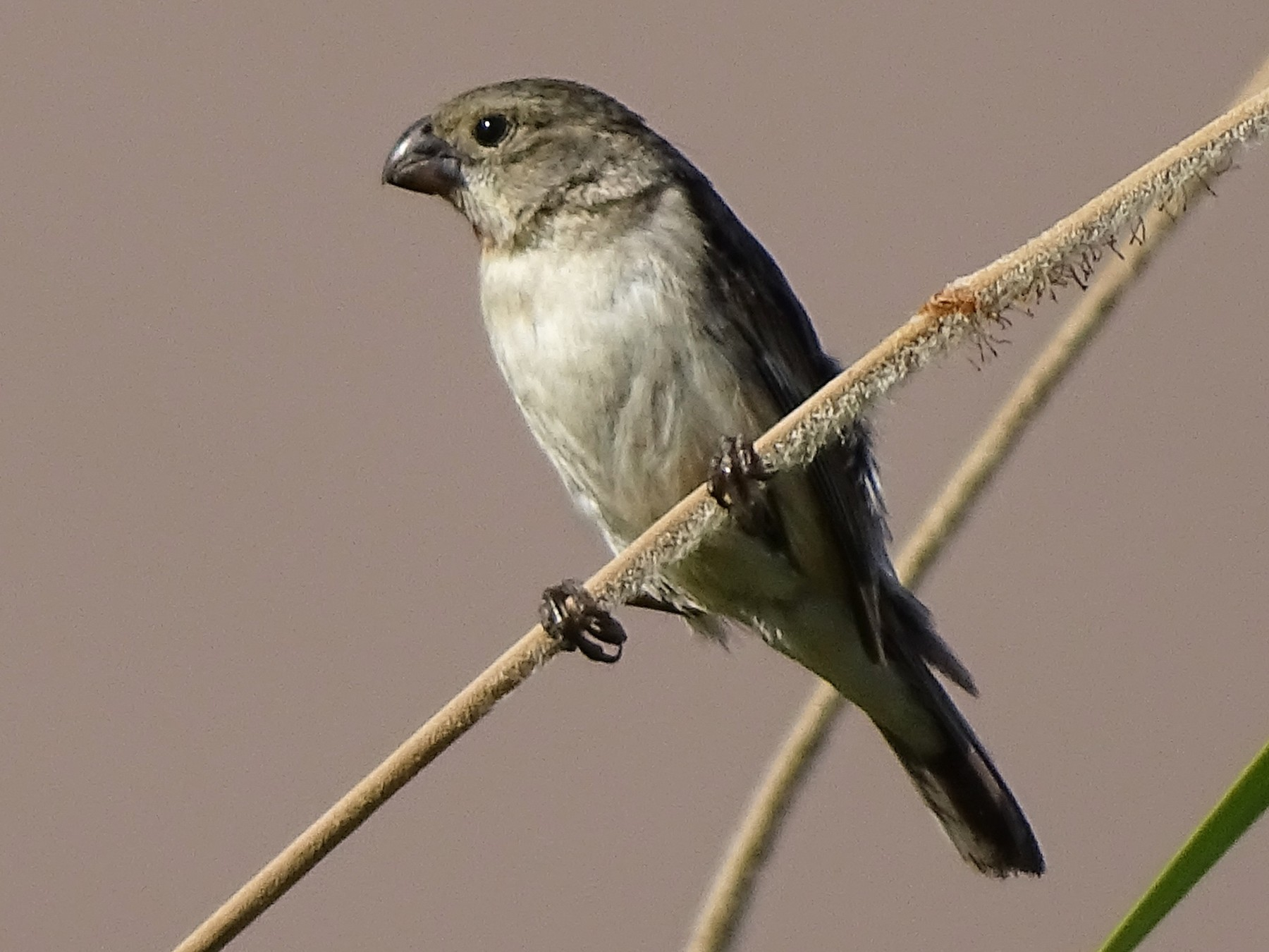 Chestnut-throated Seedeater - Charly Moreno Taucare