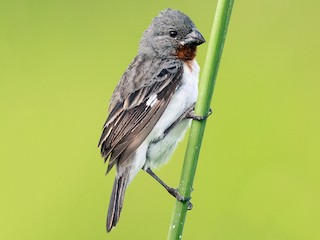 - Chestnut-throated Seedeater