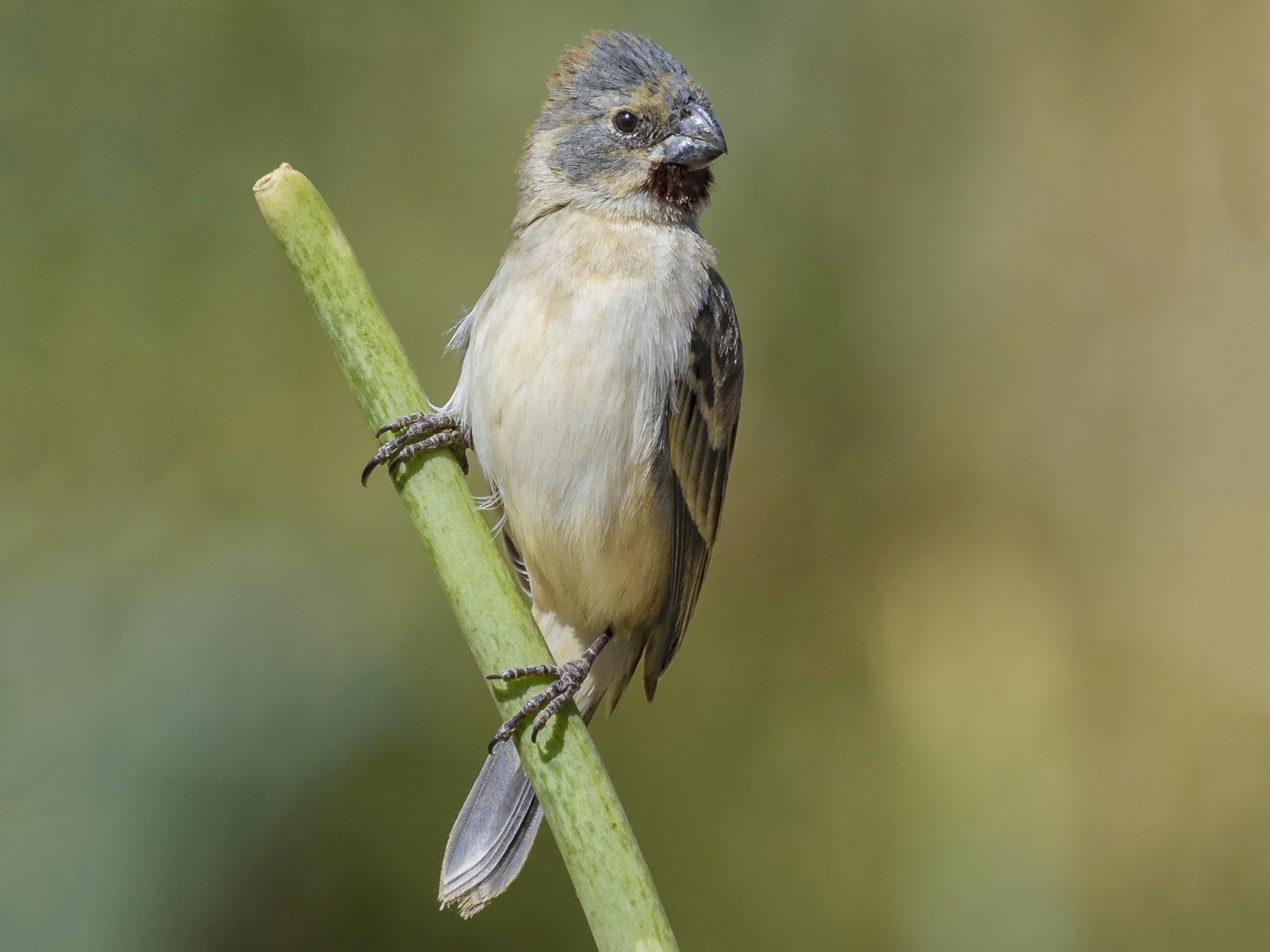 Chestnut-throated Seedeater - VERONICA ARAYA GARCIA