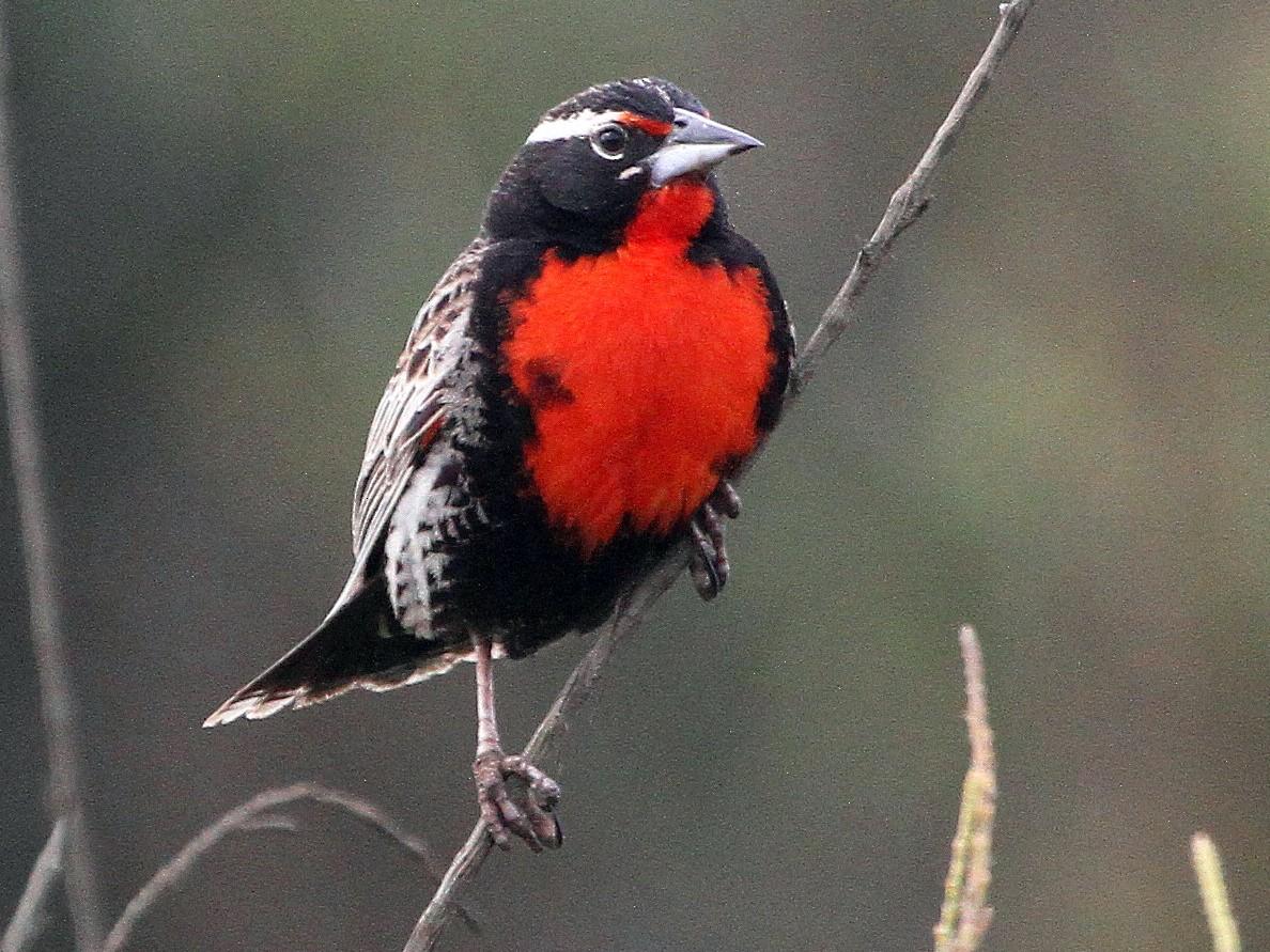Peruvian Meadowlark - Stephen Gast