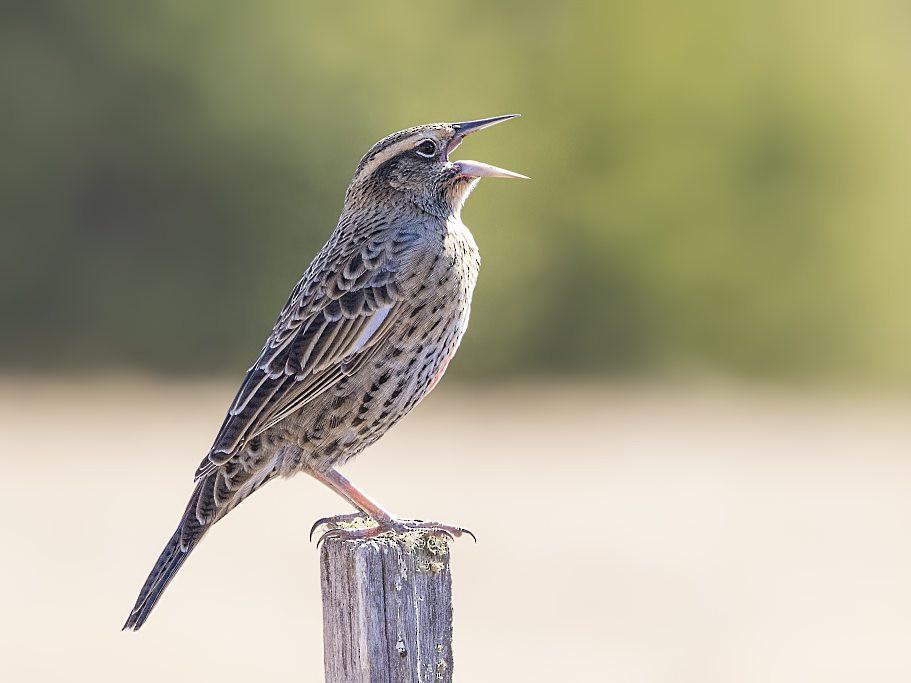 Long-tailed Meadowlark - Pio Marshall
