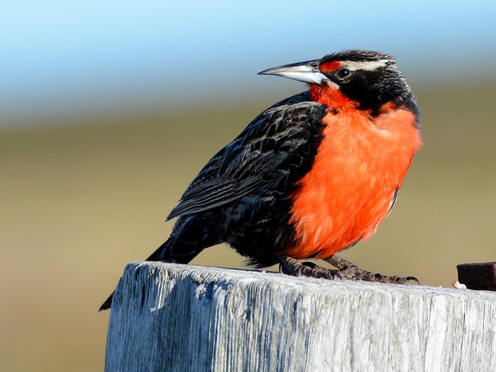 Long-tailed Meadowlark - Adriana Dinu