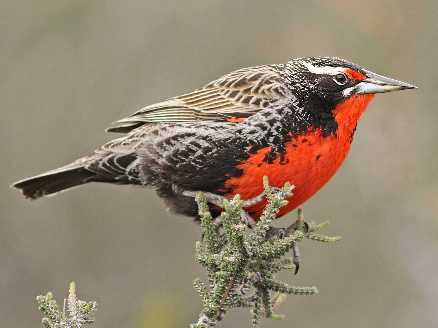 Long-tailed Meadowlark - Luke Seitz