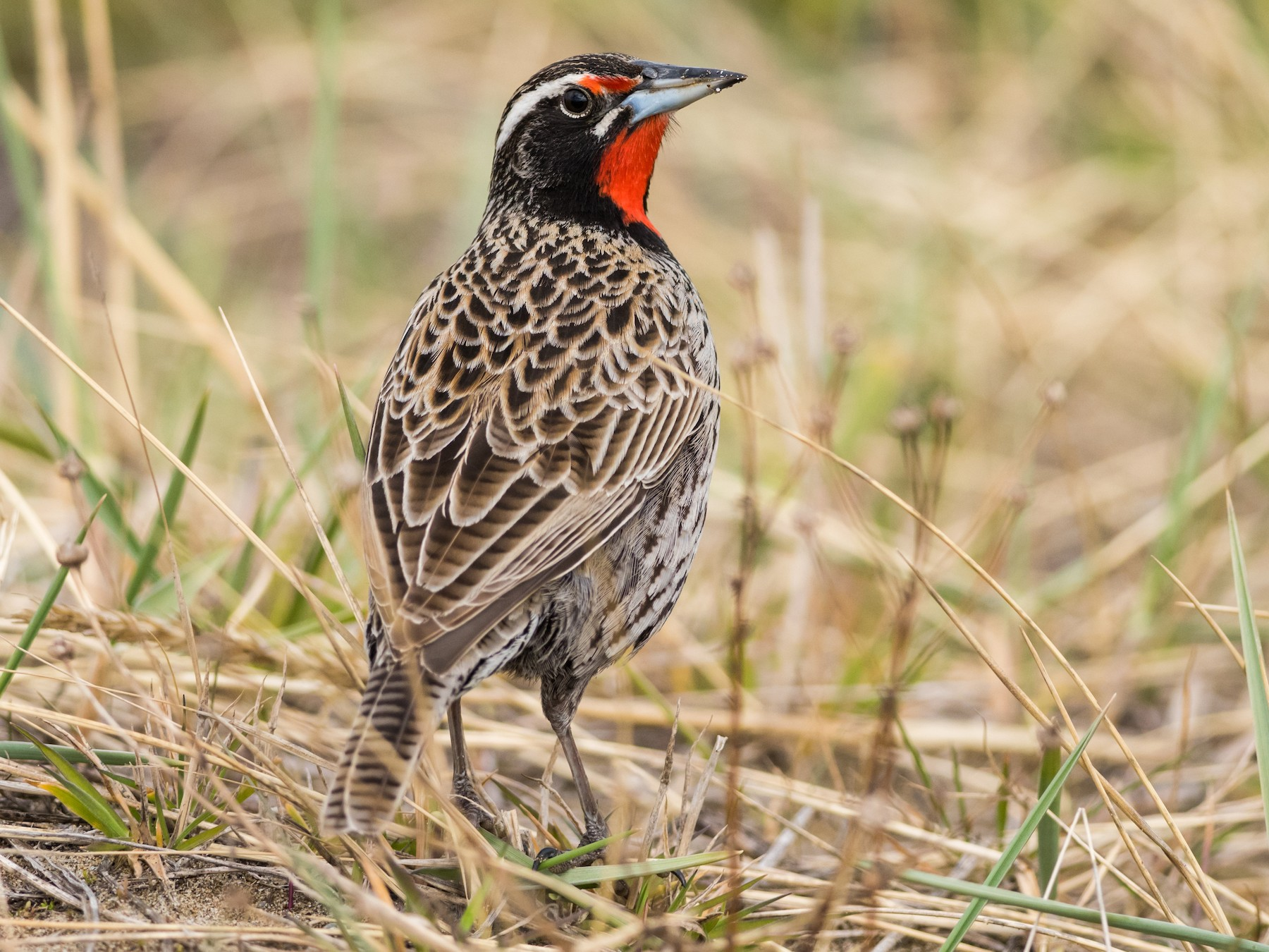 Long-tailed Meadowlark - Claudia Brasileiro
