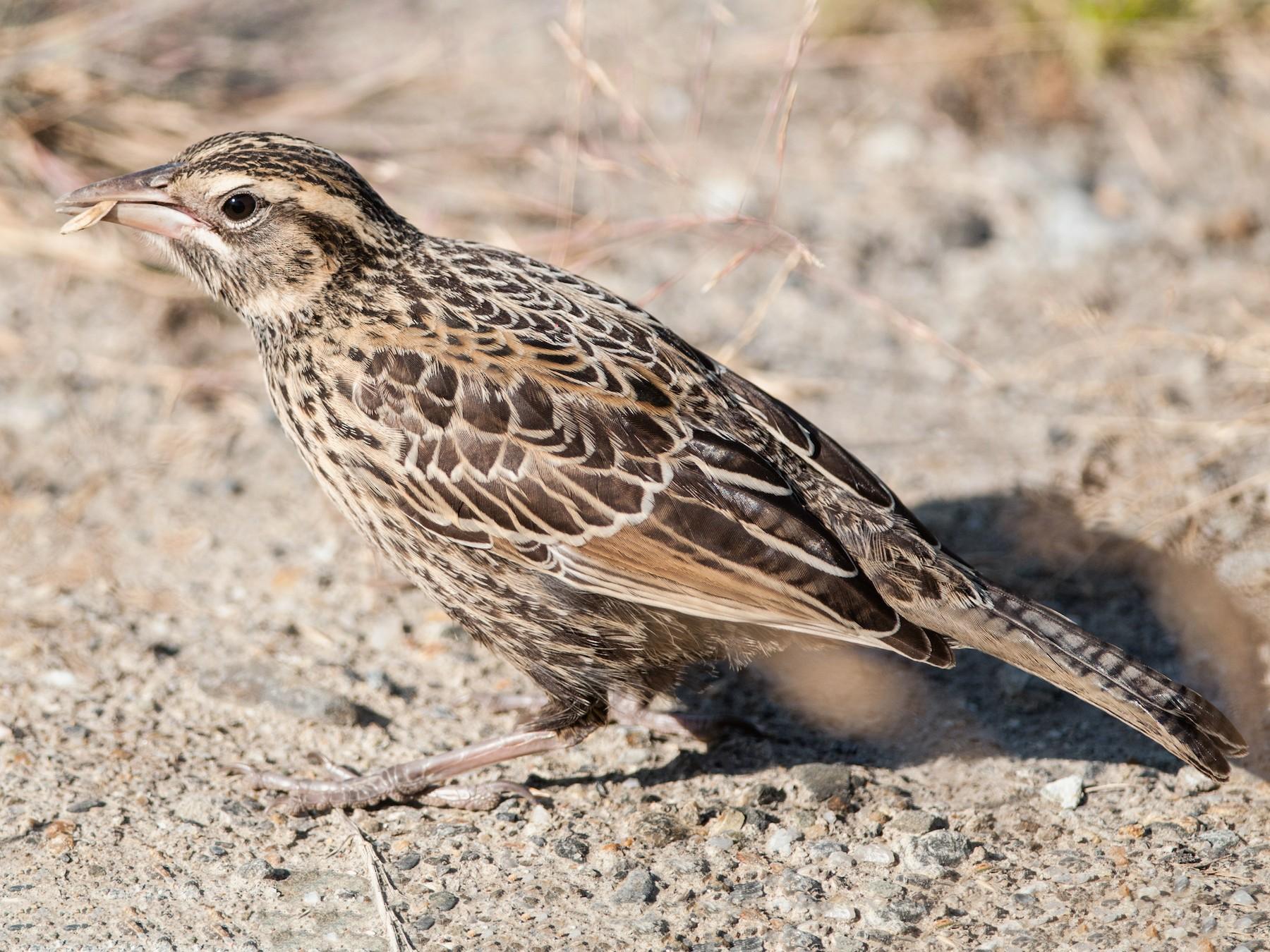 Long-tailed Meadowlark - Ken Wright