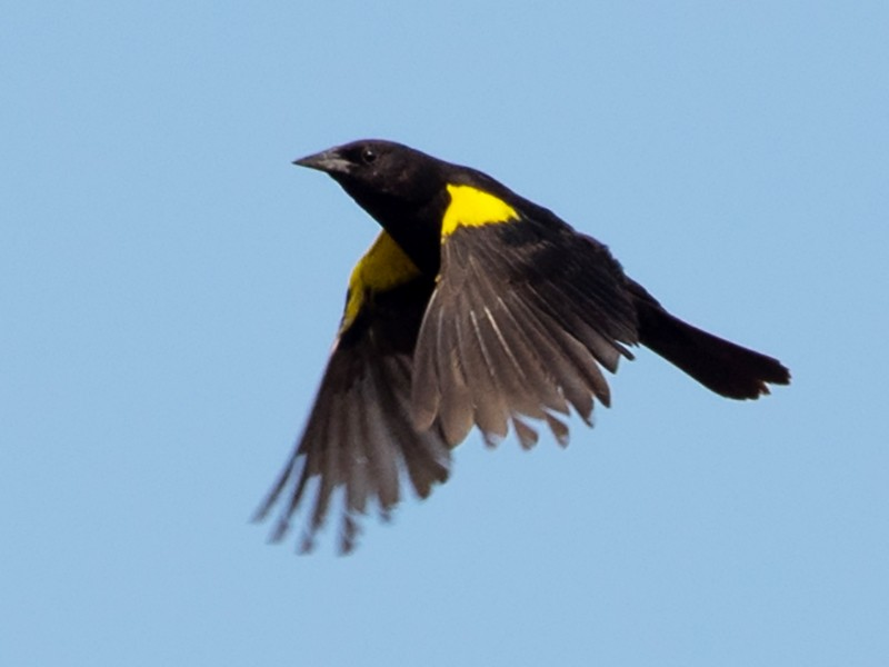 Yellow-winged Blackbird - Gonzalo Iglesias