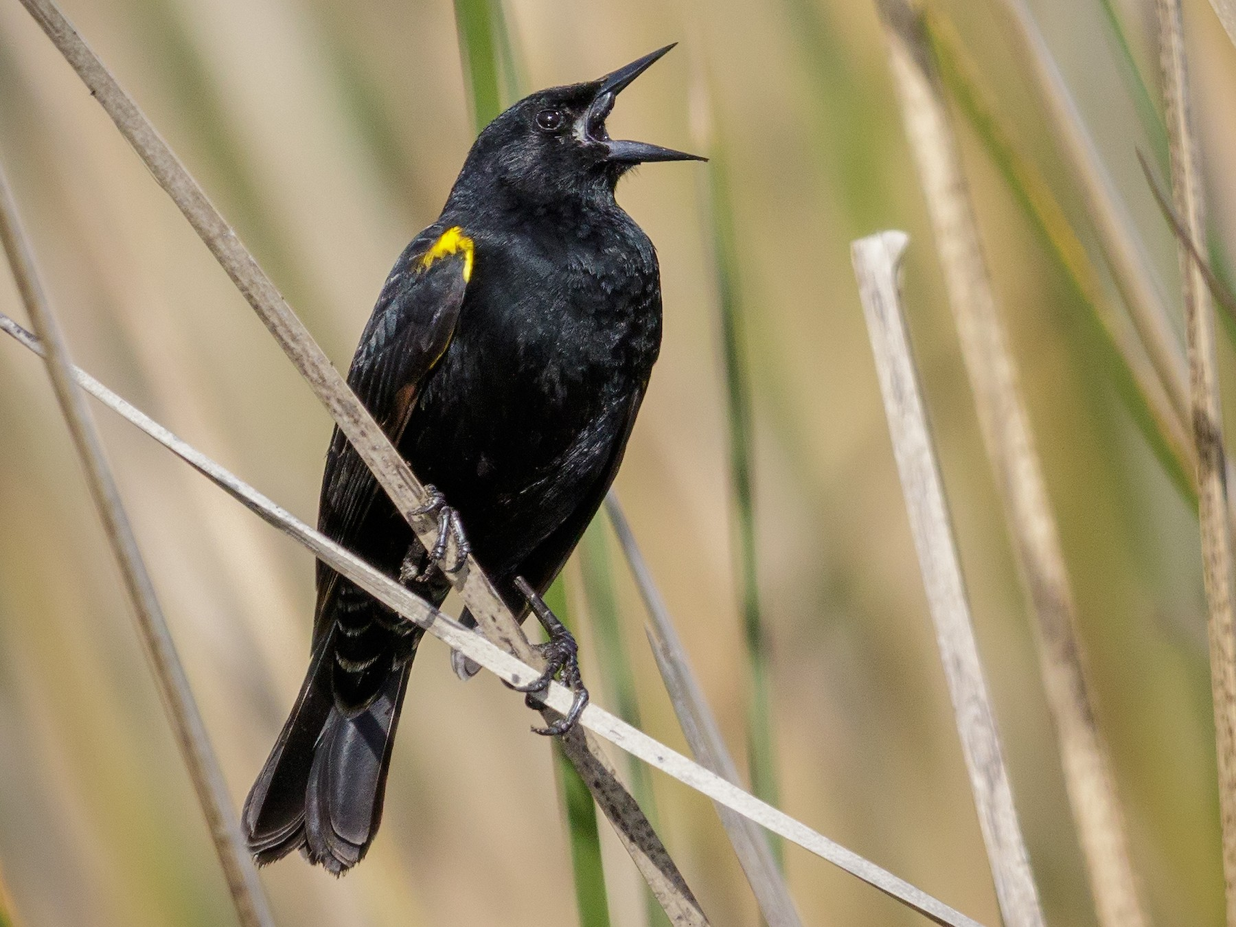 Yellow-winged Blackbird - Pio Marshall