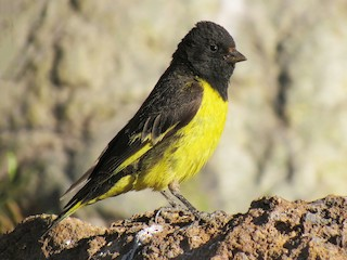 - Yellow-rumped Siskin