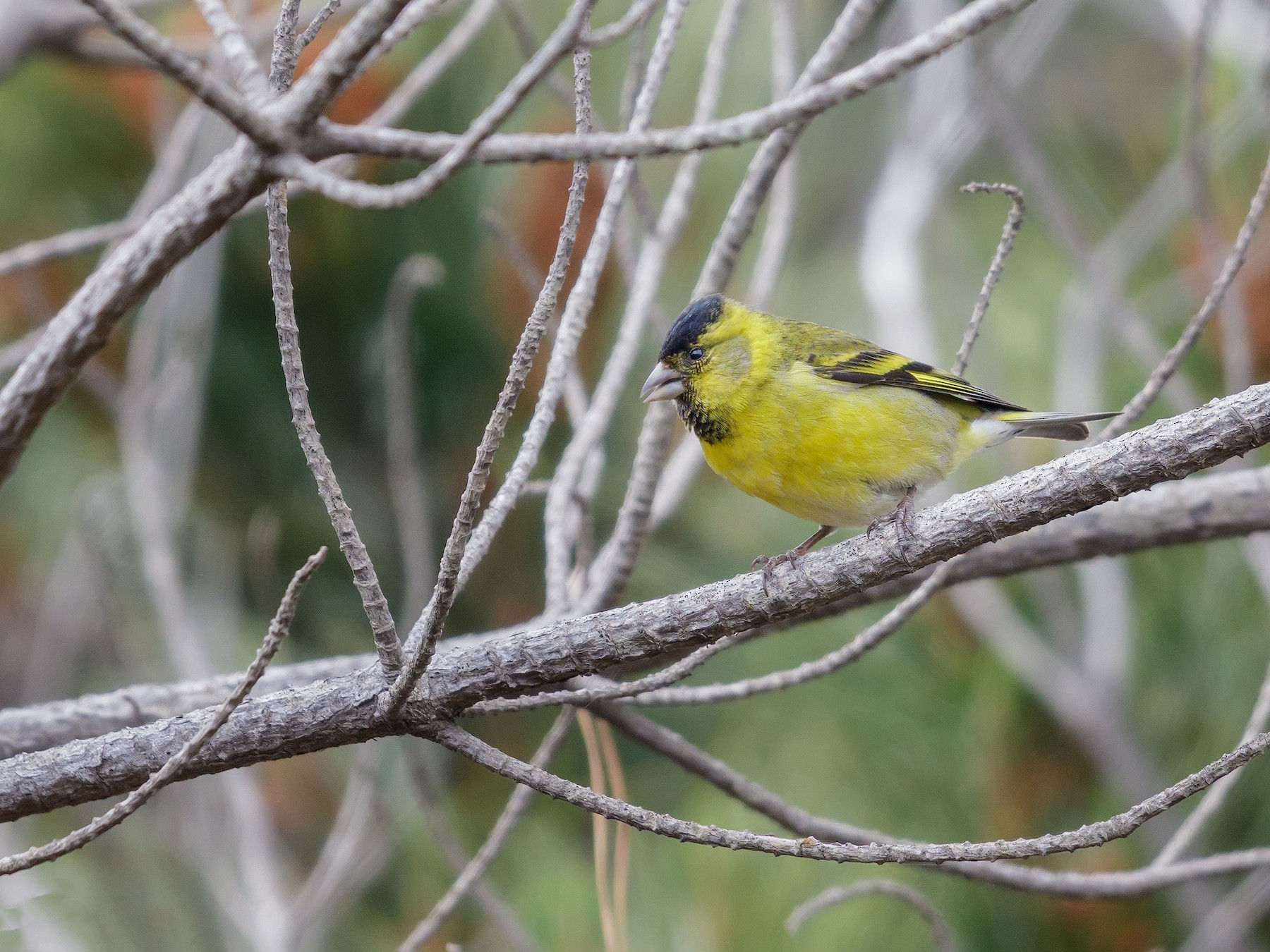 Black-chinned Siskin - Pio Marshall