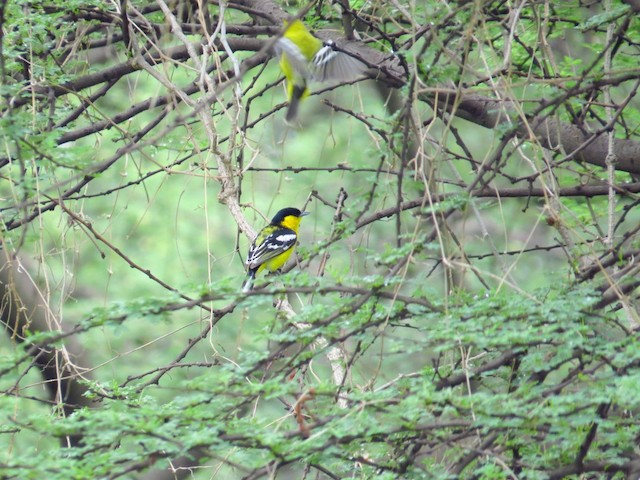 White-tailed Iora