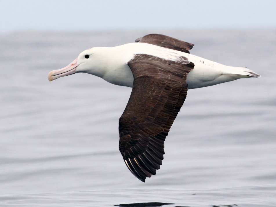 Royal Albatross - Brendan Klick