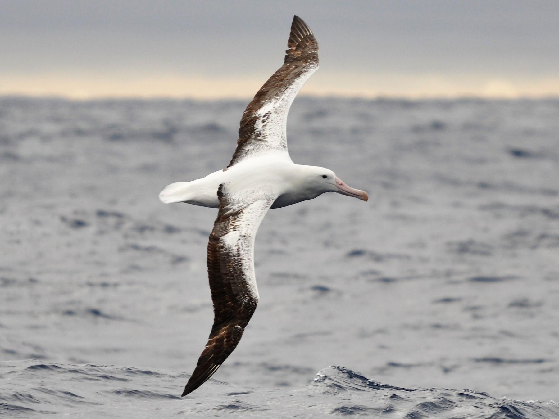 Royal Albatross - Heidi Krajewsky