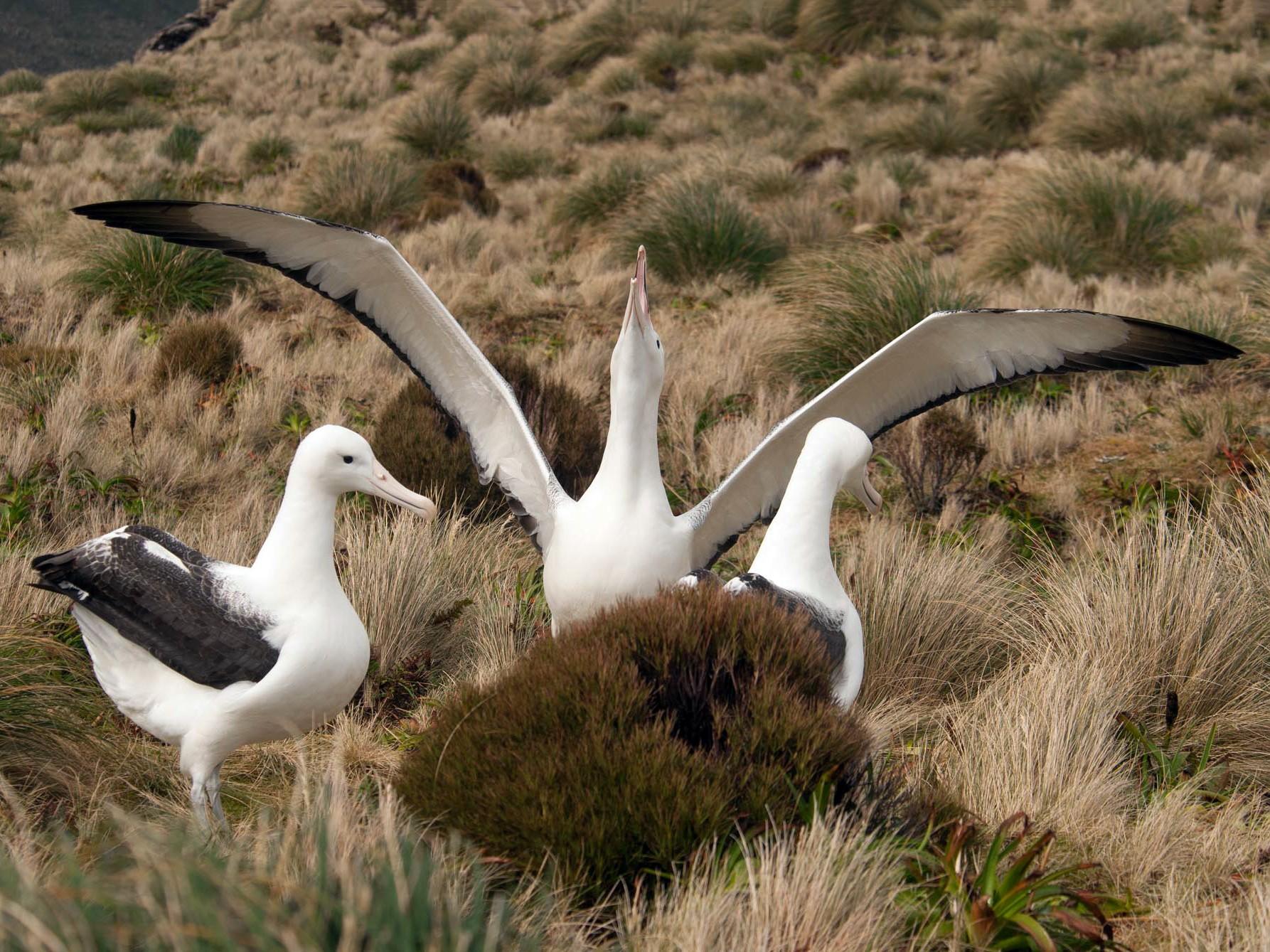 Royal Albatross - Santiago Imberti