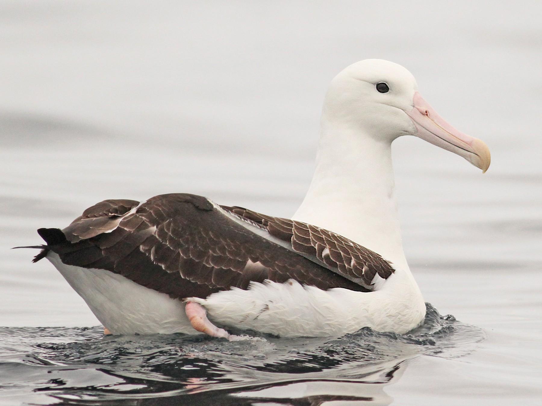 Royal Albatross - Luke Seitz