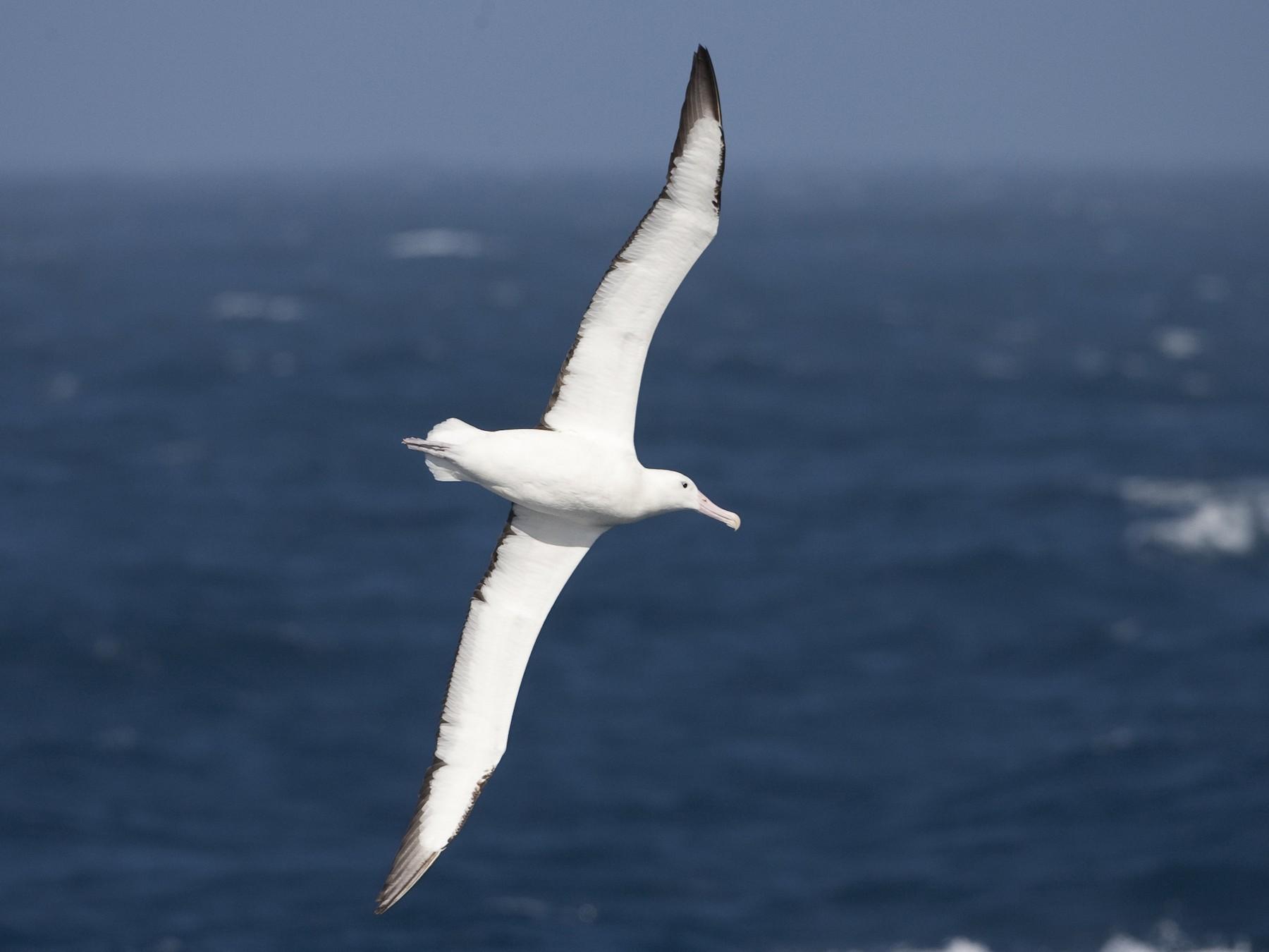 Royal Albatross - Brian Sullivan
