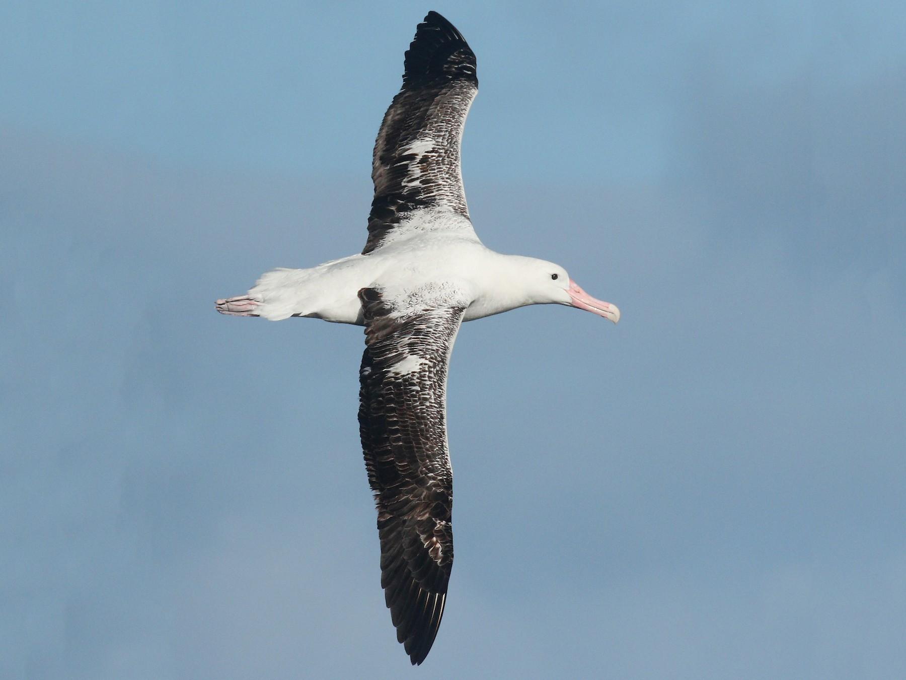 Royal Albatross - Alex Berryman