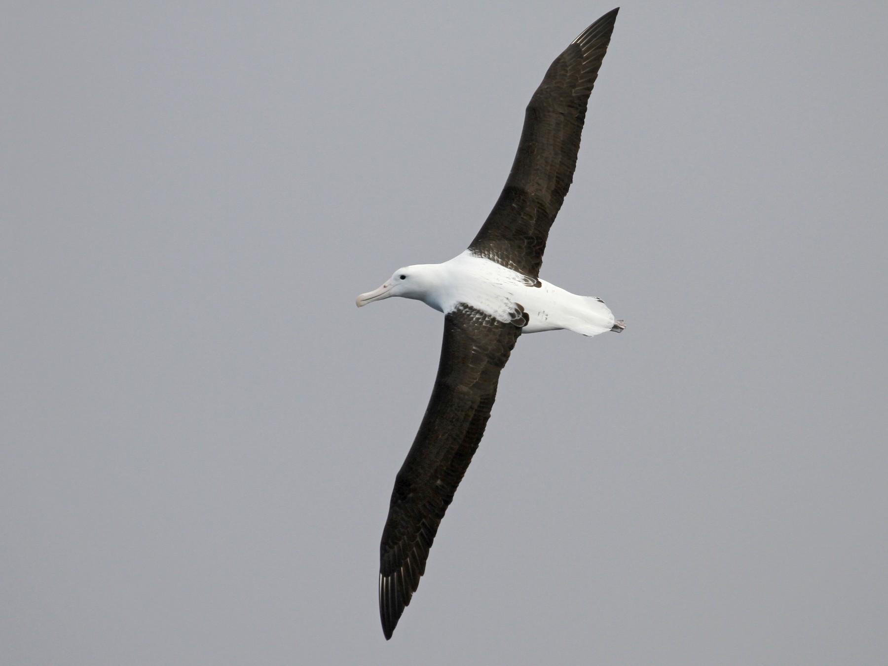 Royal Albatross - Paul Brooks