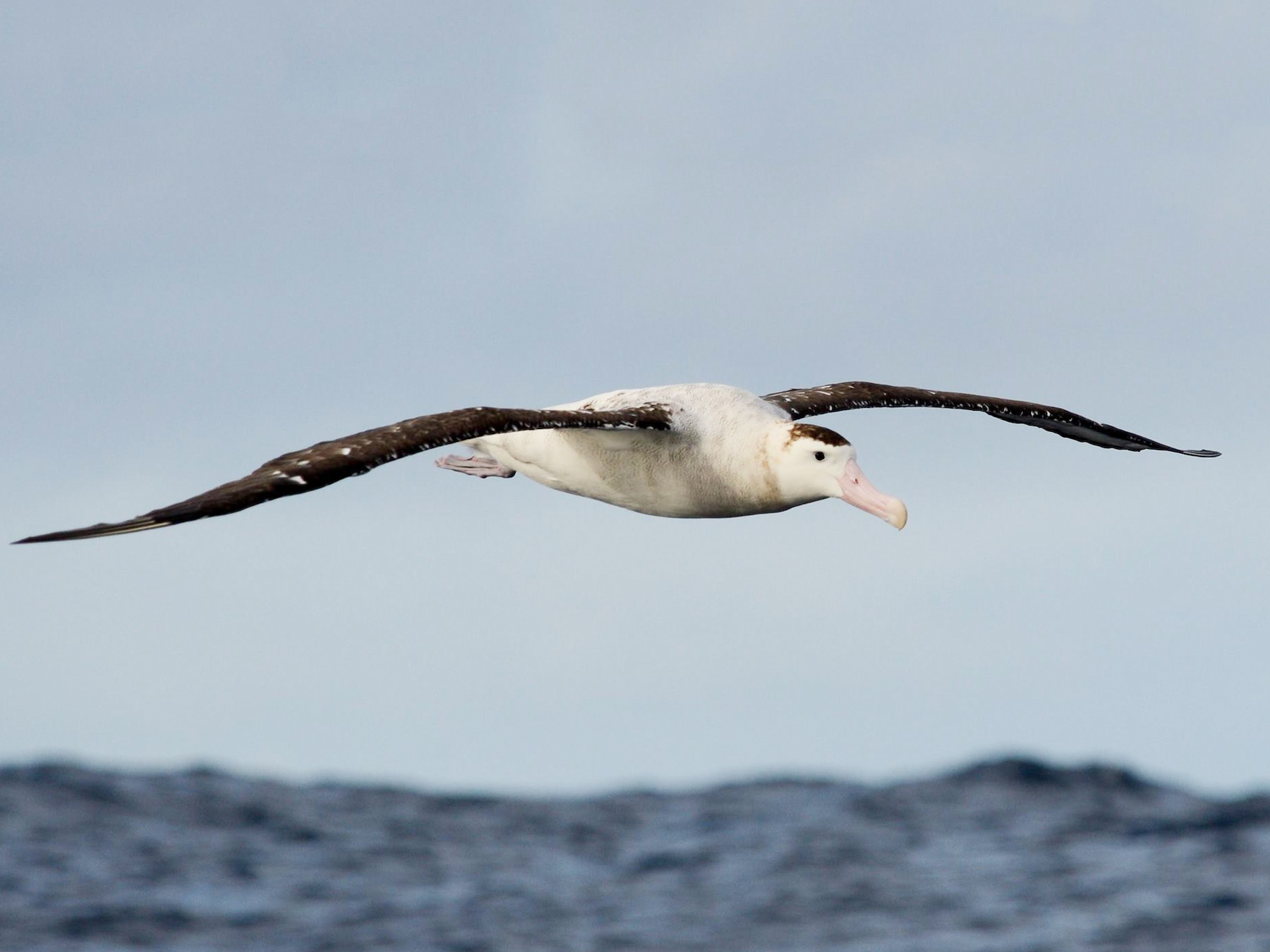 Wandering Albatross - Angus Hartshorn