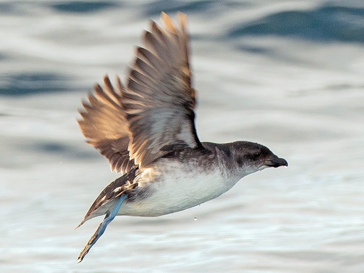 Common Diving-Petrel - Leslie Feasey