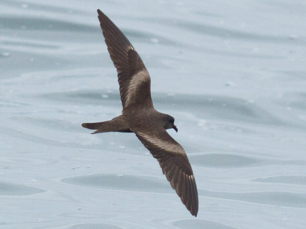 Markham's Storm-Petrel - Fernando Díaz (Albatross Birding Chile)