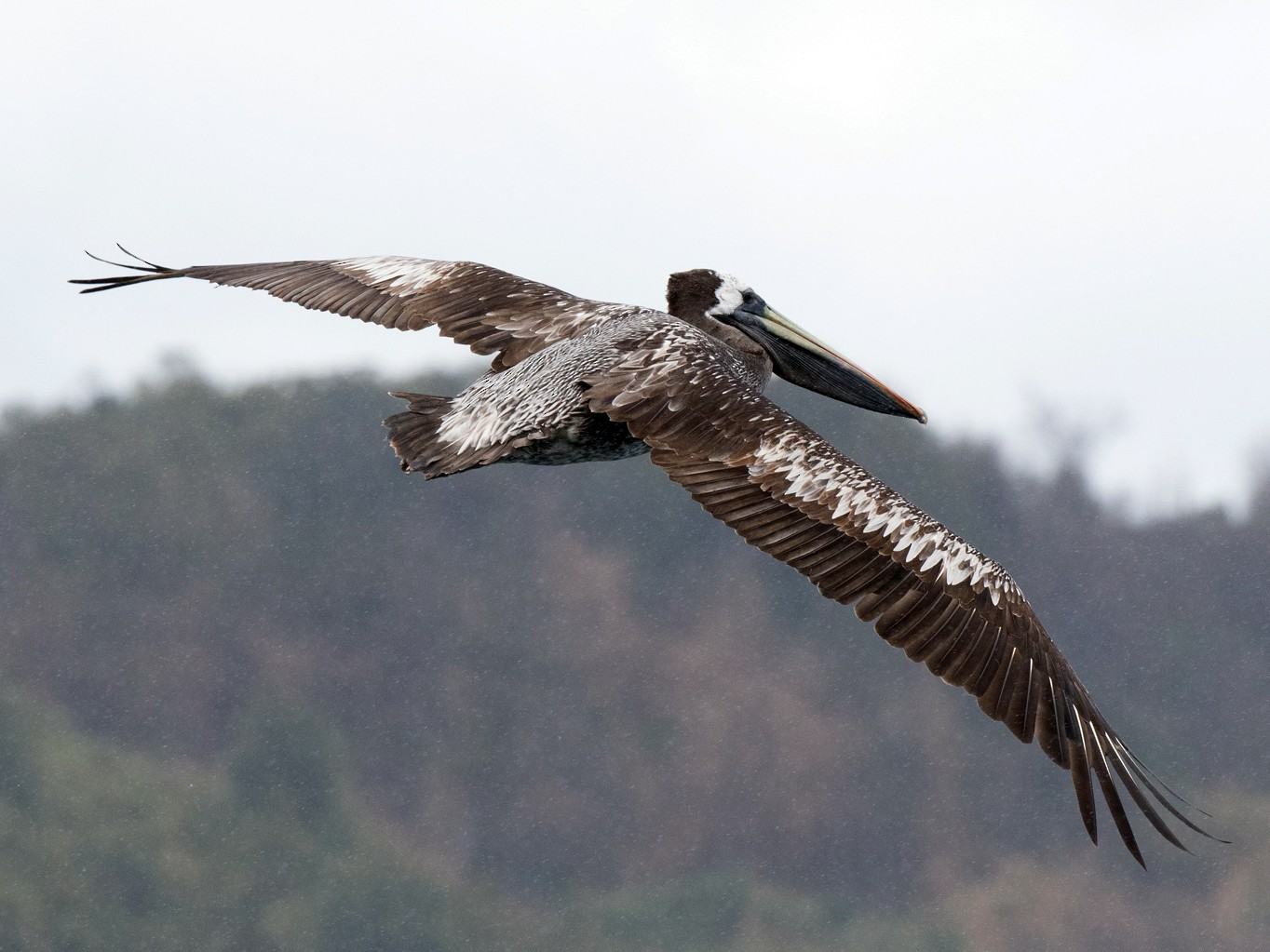 Peruvian Pelican - Sonja Ross
