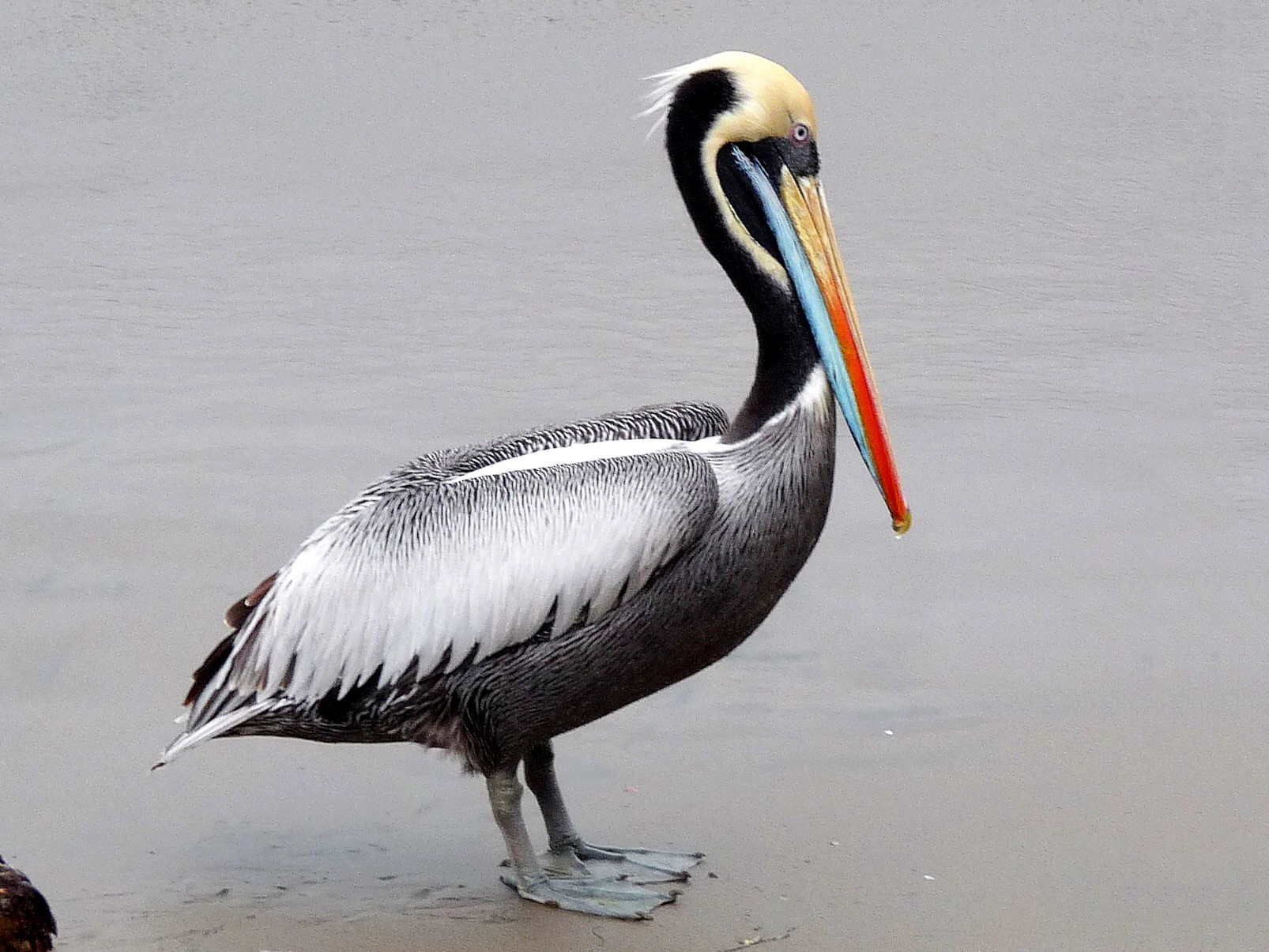 Peruvian Pelican - David Bree