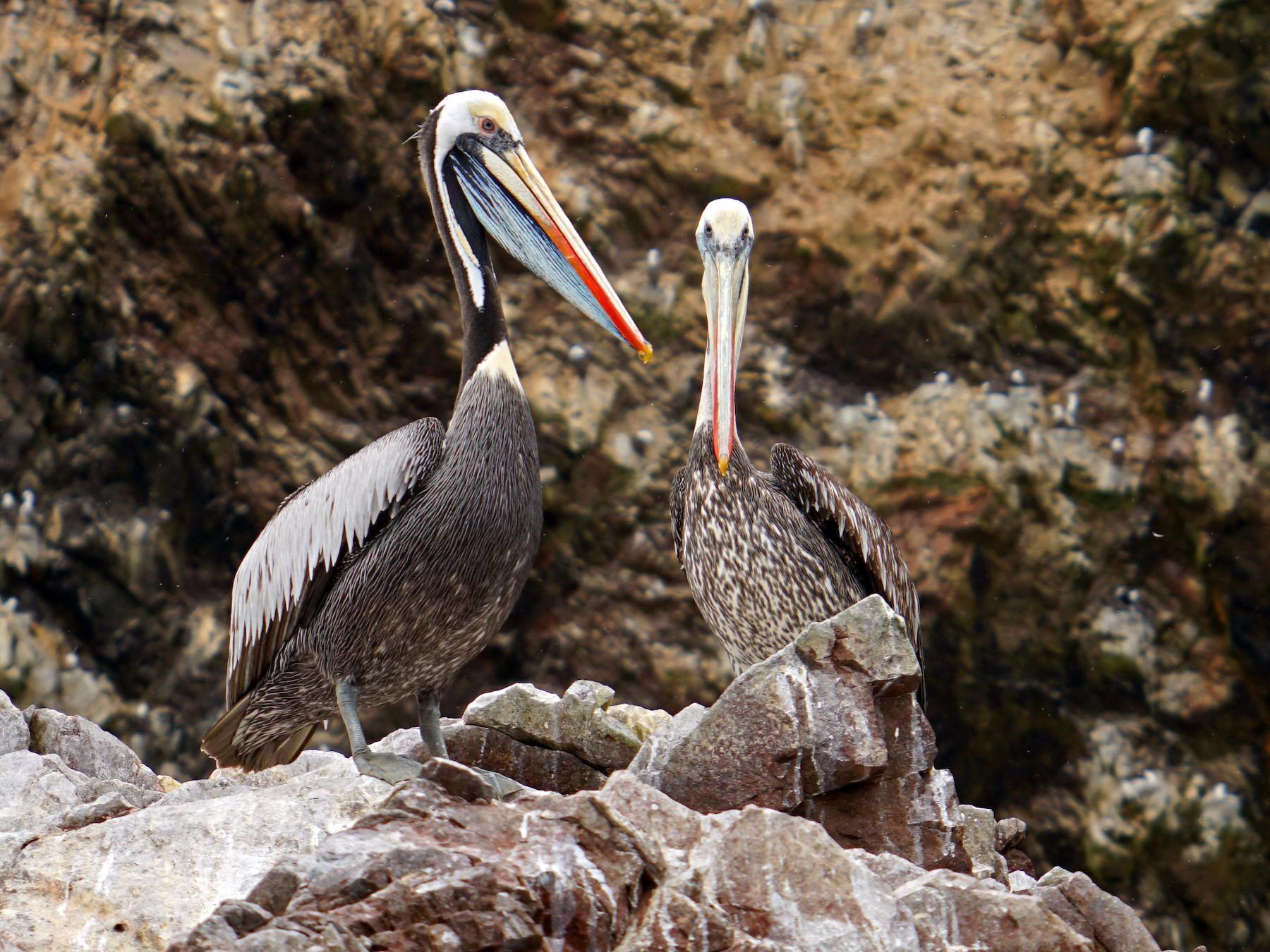 Peruvian Pelican - Connie Guillory