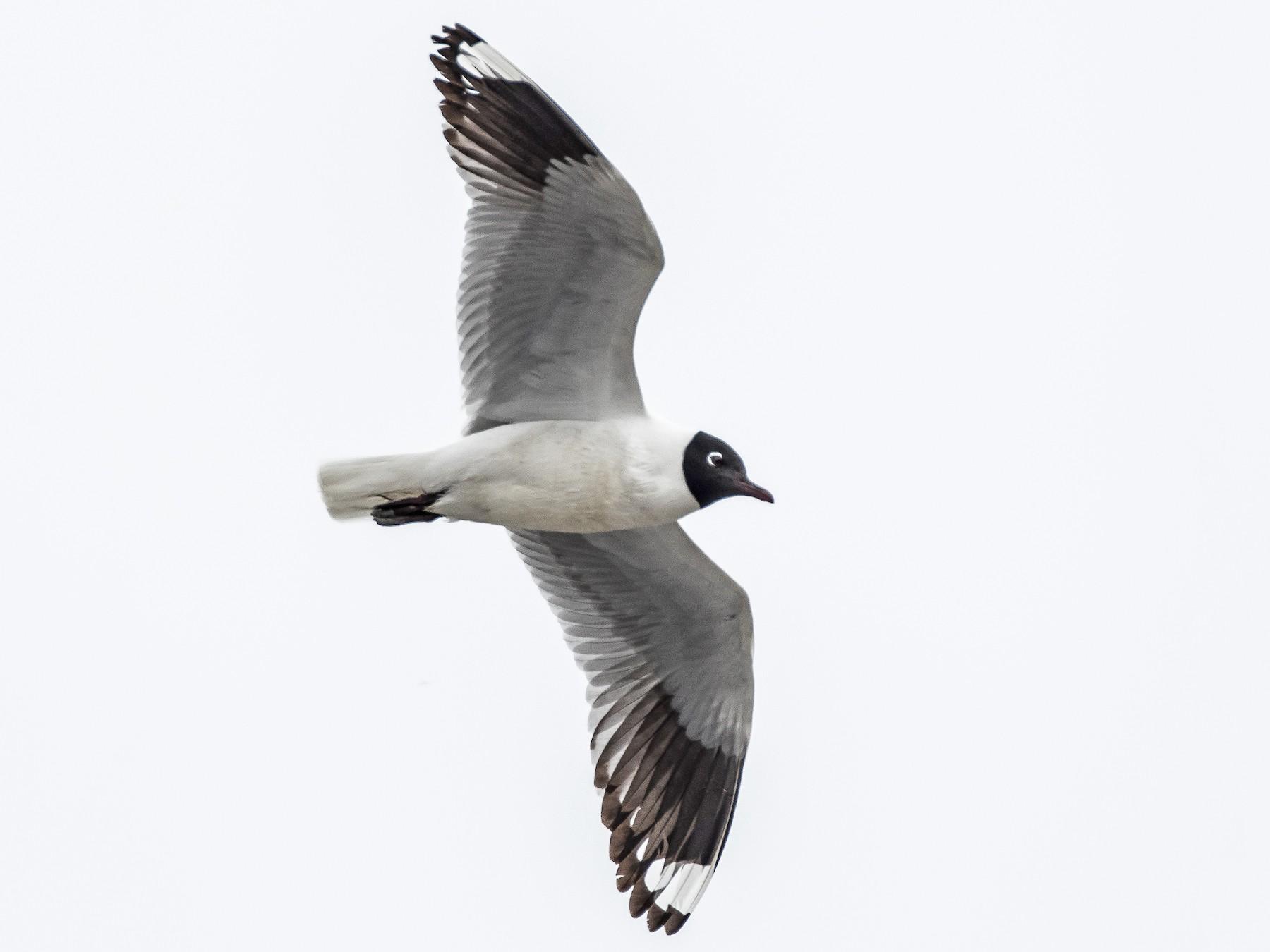 Andean Gull - Blake Matheson