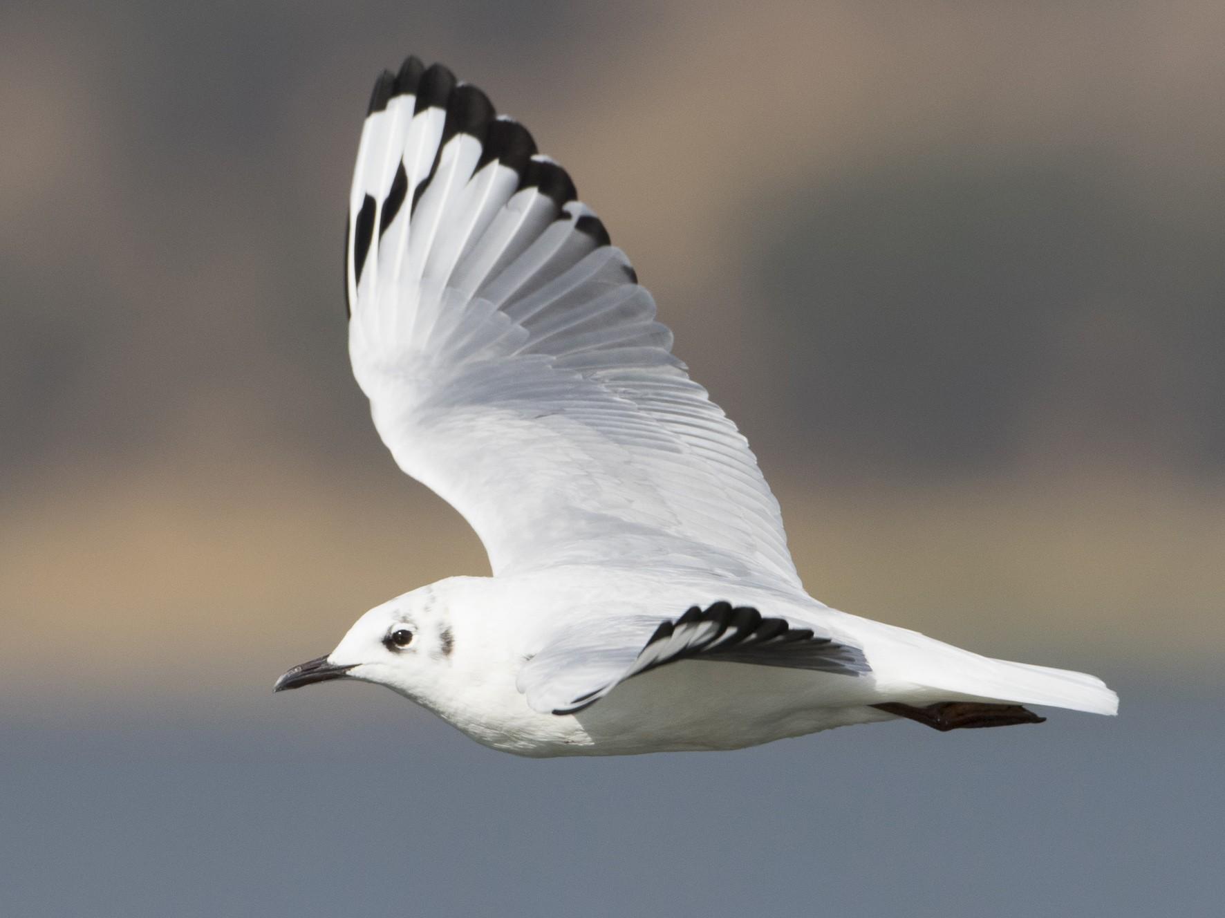 Andean Gull - Brian Sullivan
