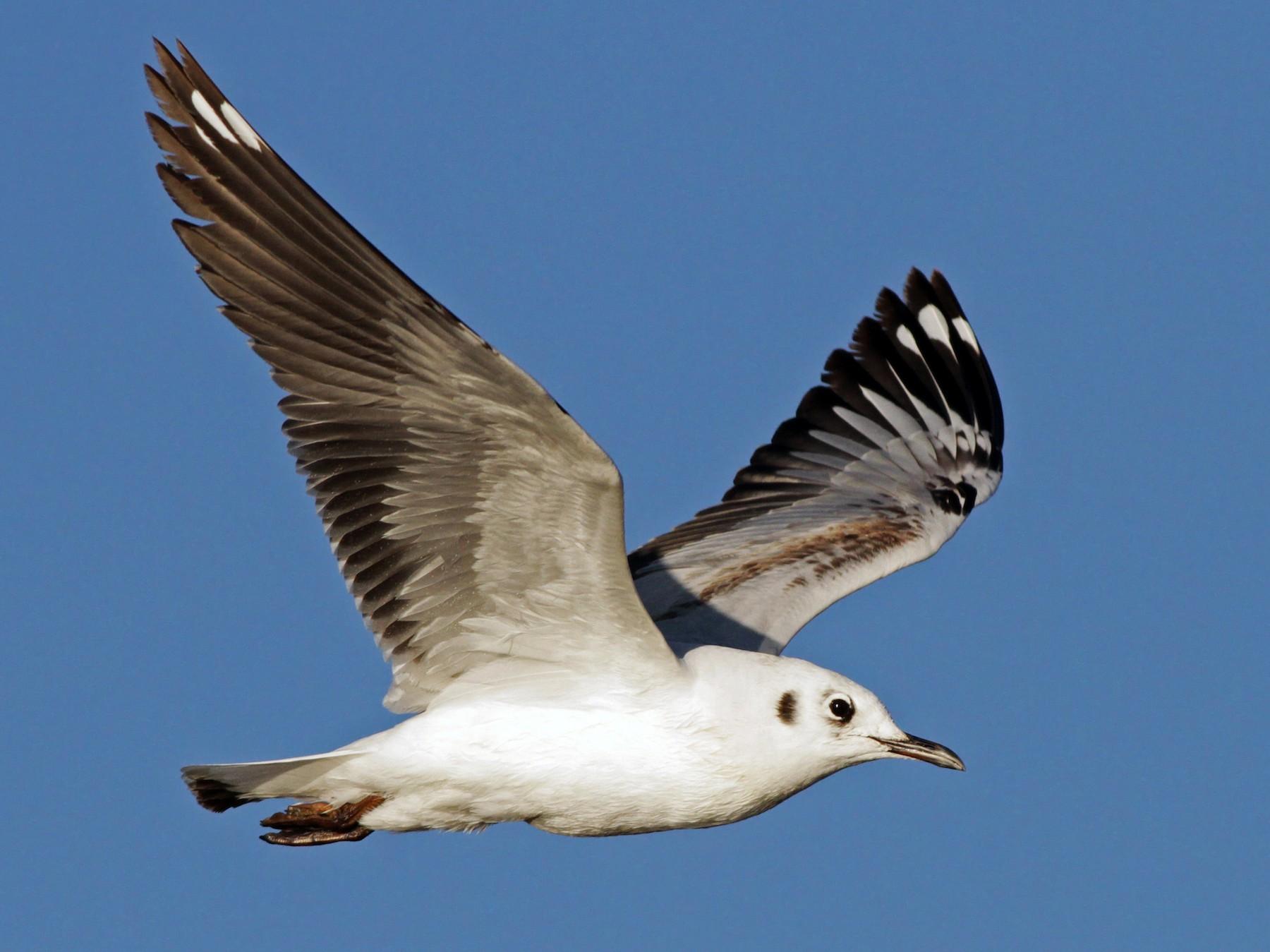 Andean Gull - Ian Davies