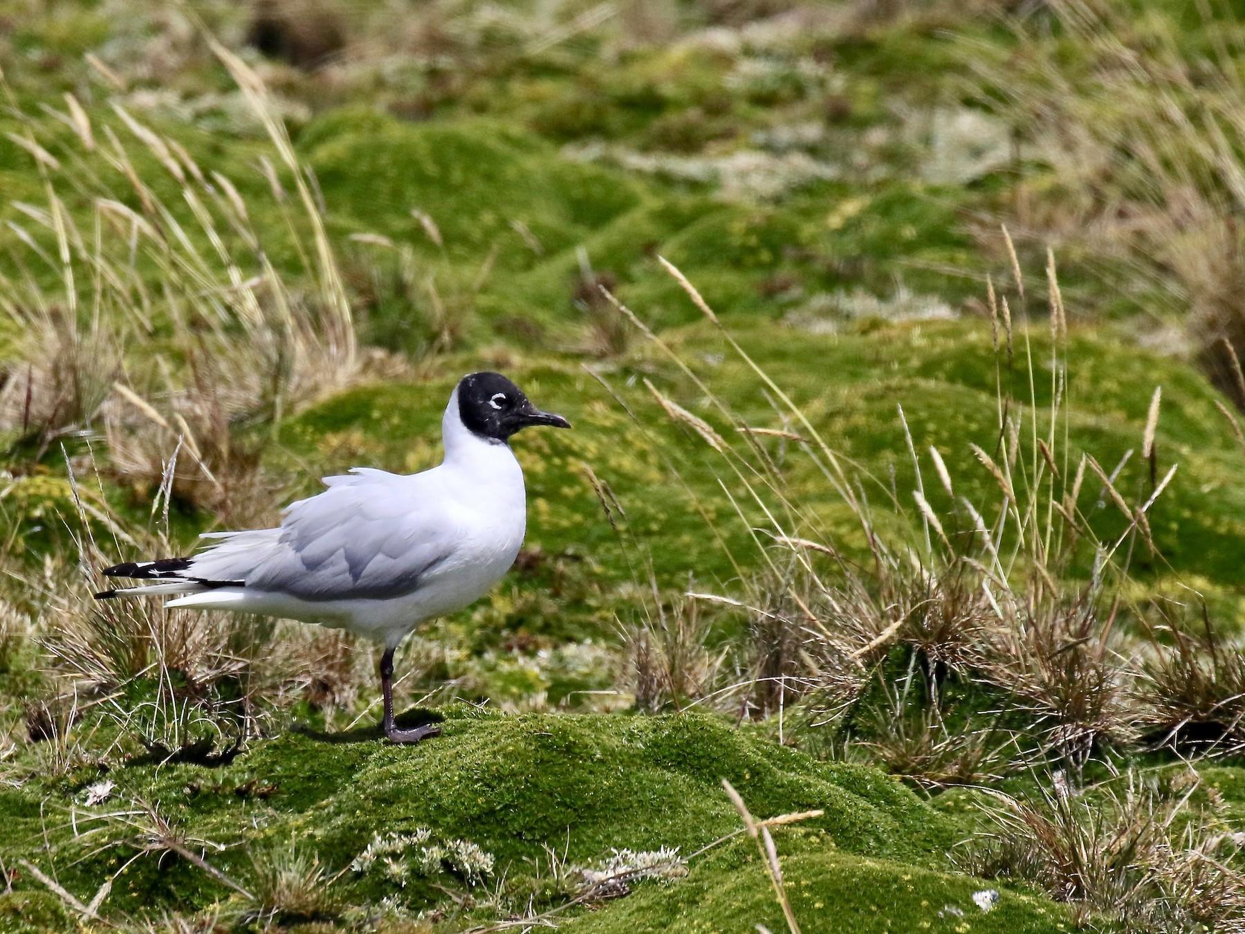 Andean Gull - Jonah  Benningfield