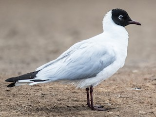 - Andean Gull
