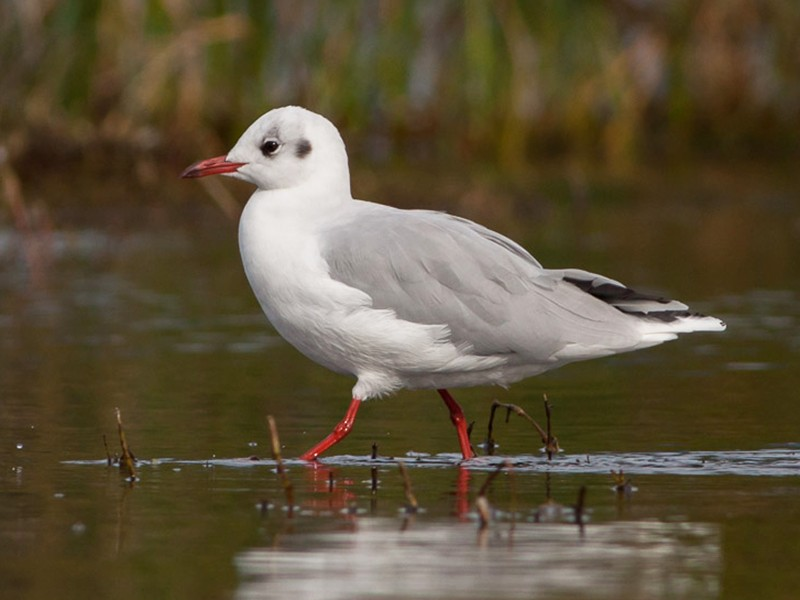 Brown-hooded Gull - Ariel Cabrera Foix