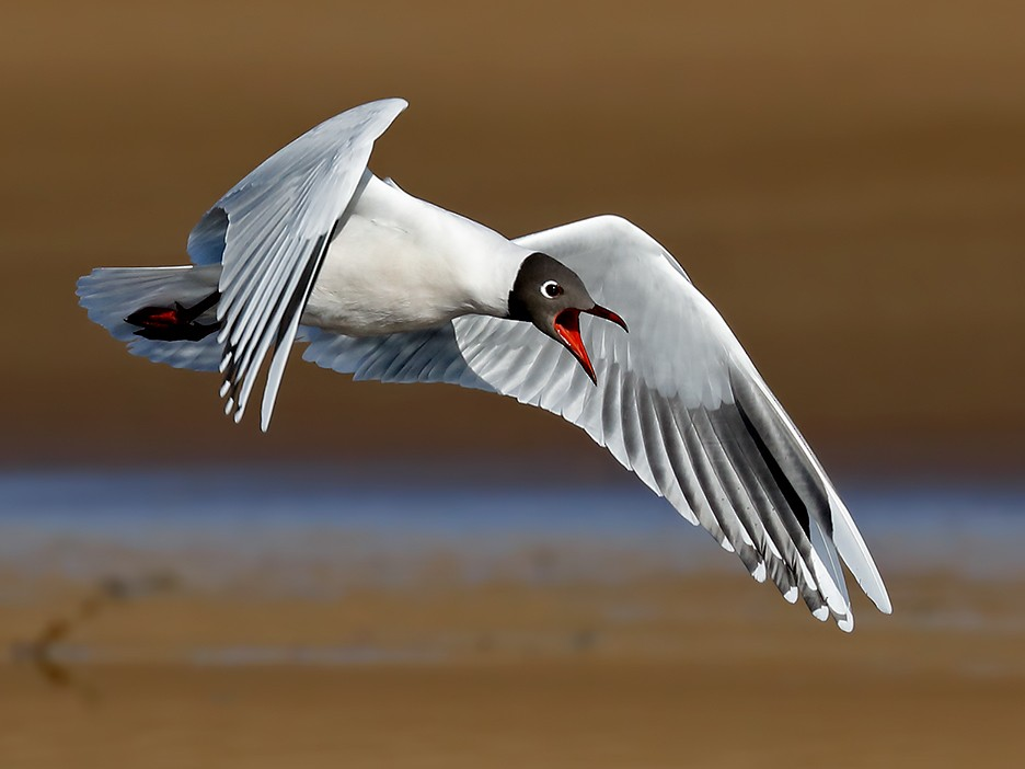 Brown-hooded Gull - Esteban Argerich