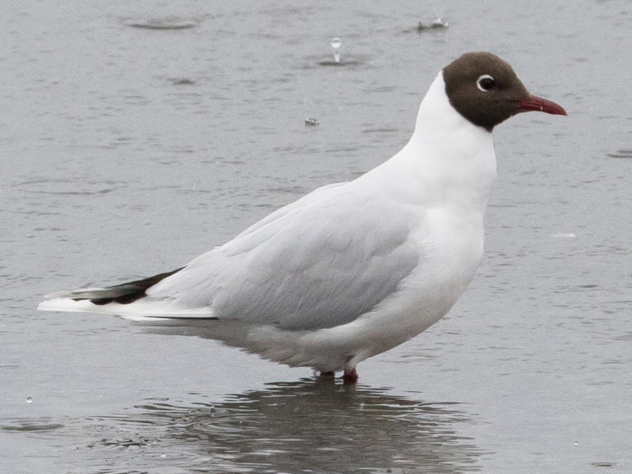 Brown-hooded Gull - Sonja Ross