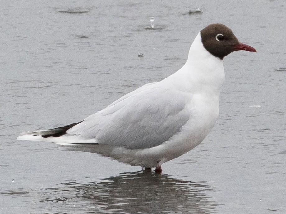 Brown-hooded Gull - Sonja Ross