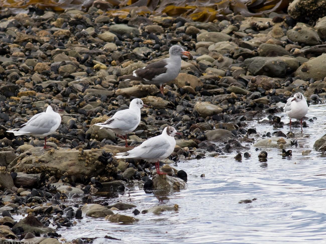 Brown-hooded Gull - Tom Johnson