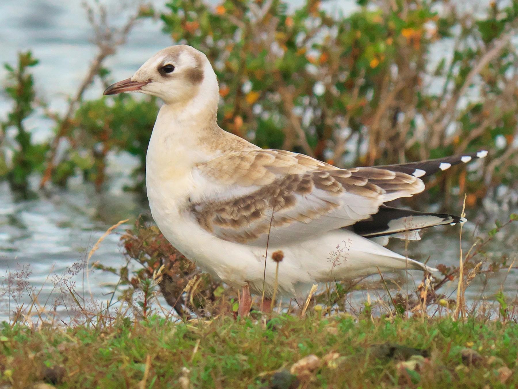 Brown-hooded Gull - Paul Tavares