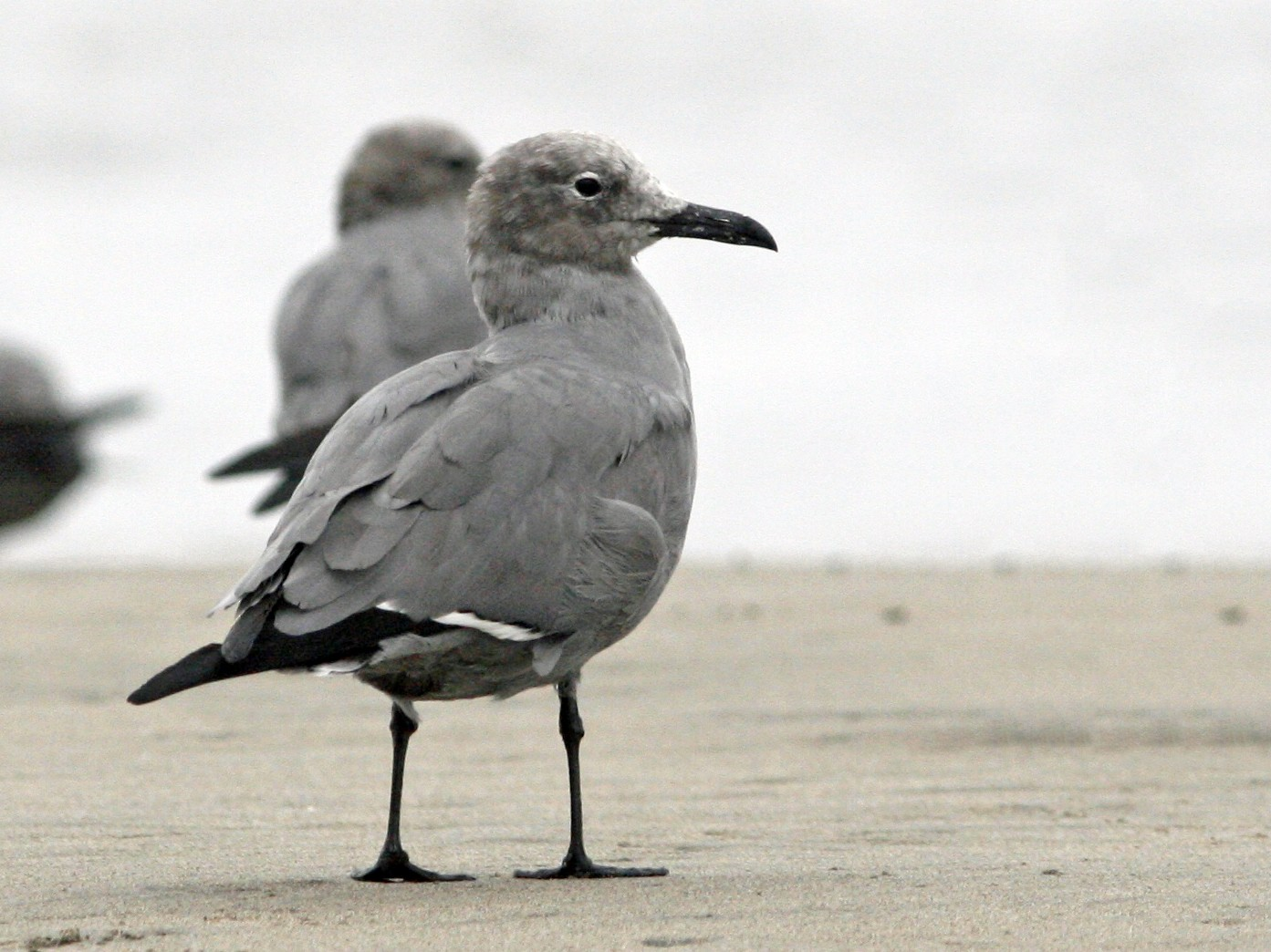 Gray Gull - Oscar Johnson