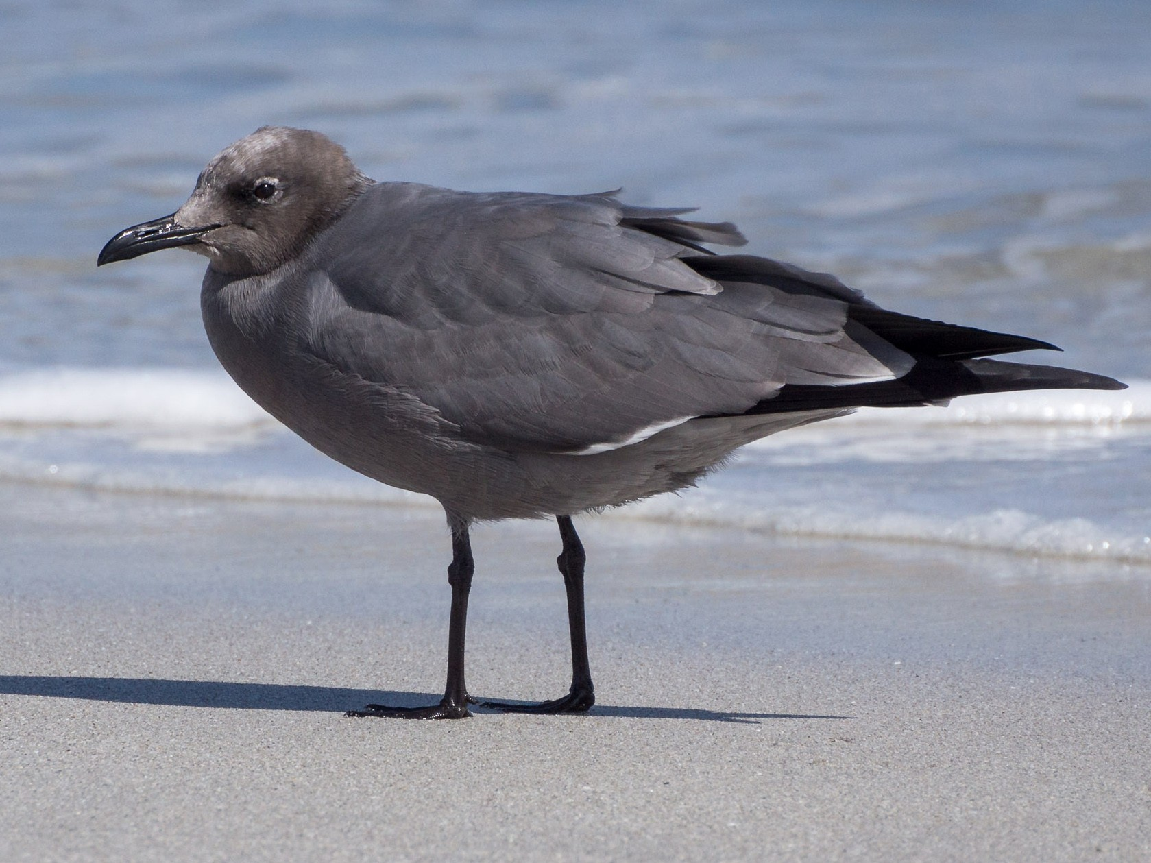 Gray Gull - Vicente Pantoja Maggi