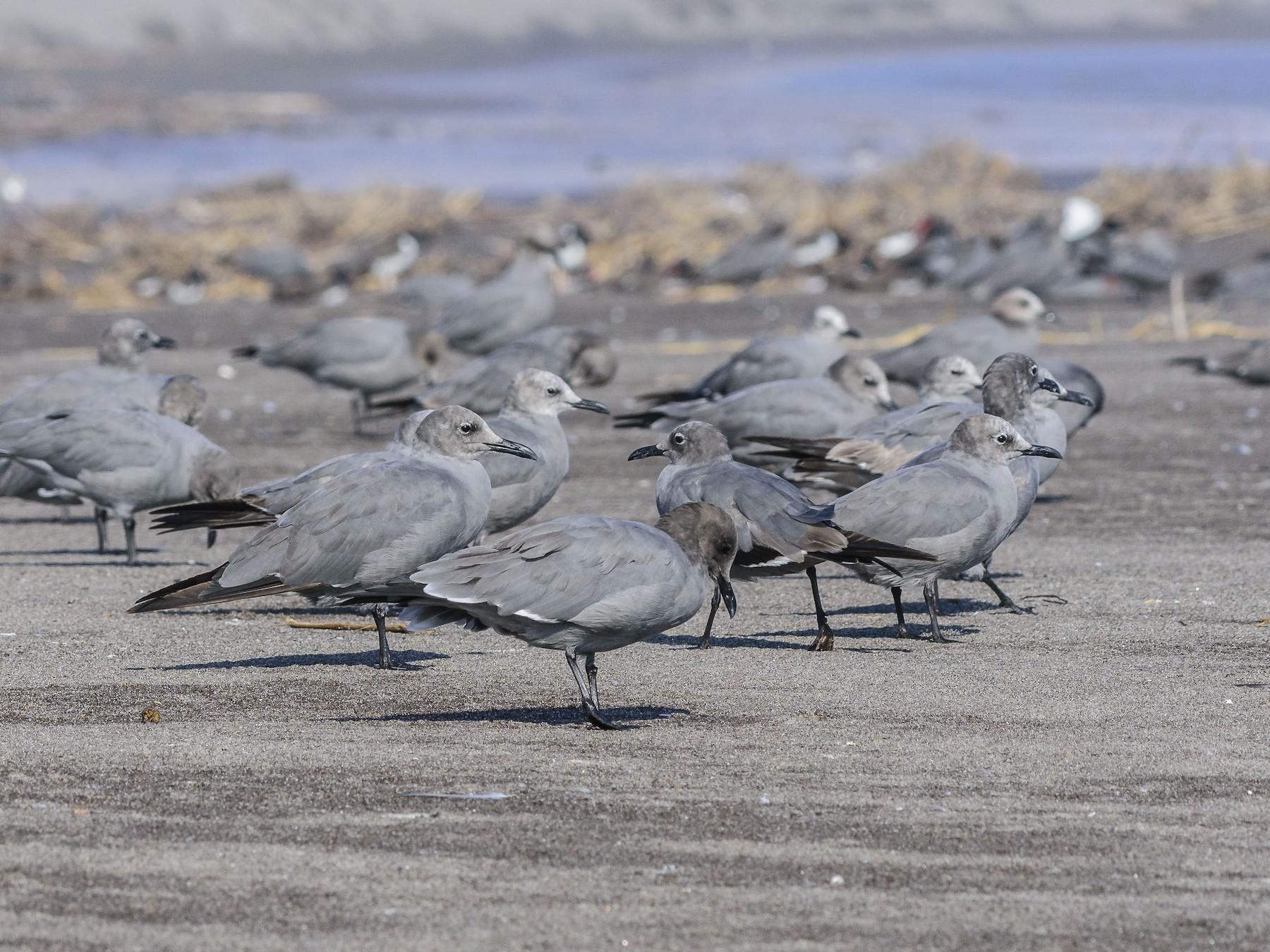 Gray Gull - VERONICA ARAYA GARCIA