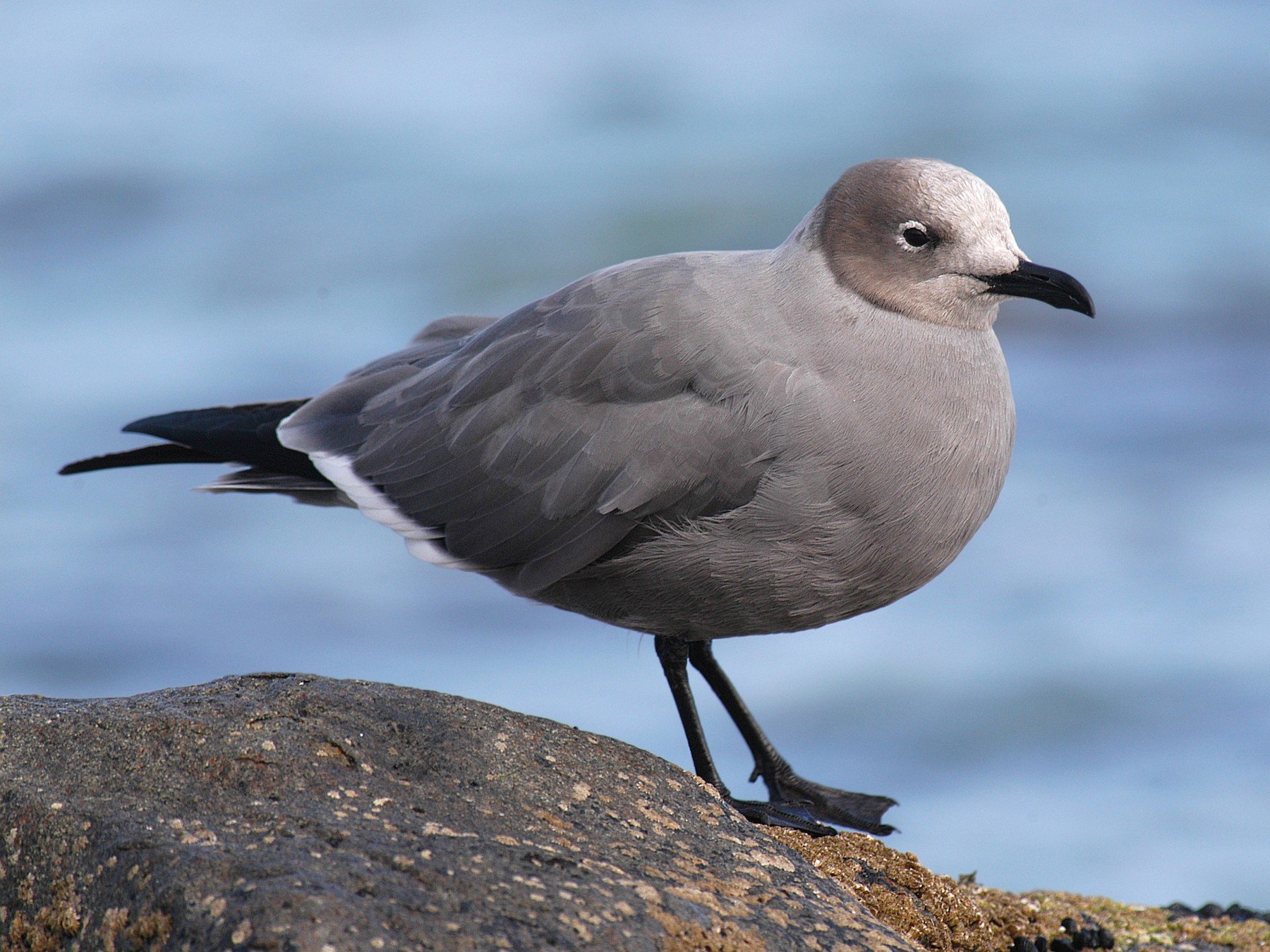 Gray Gull - Etienne Artigau