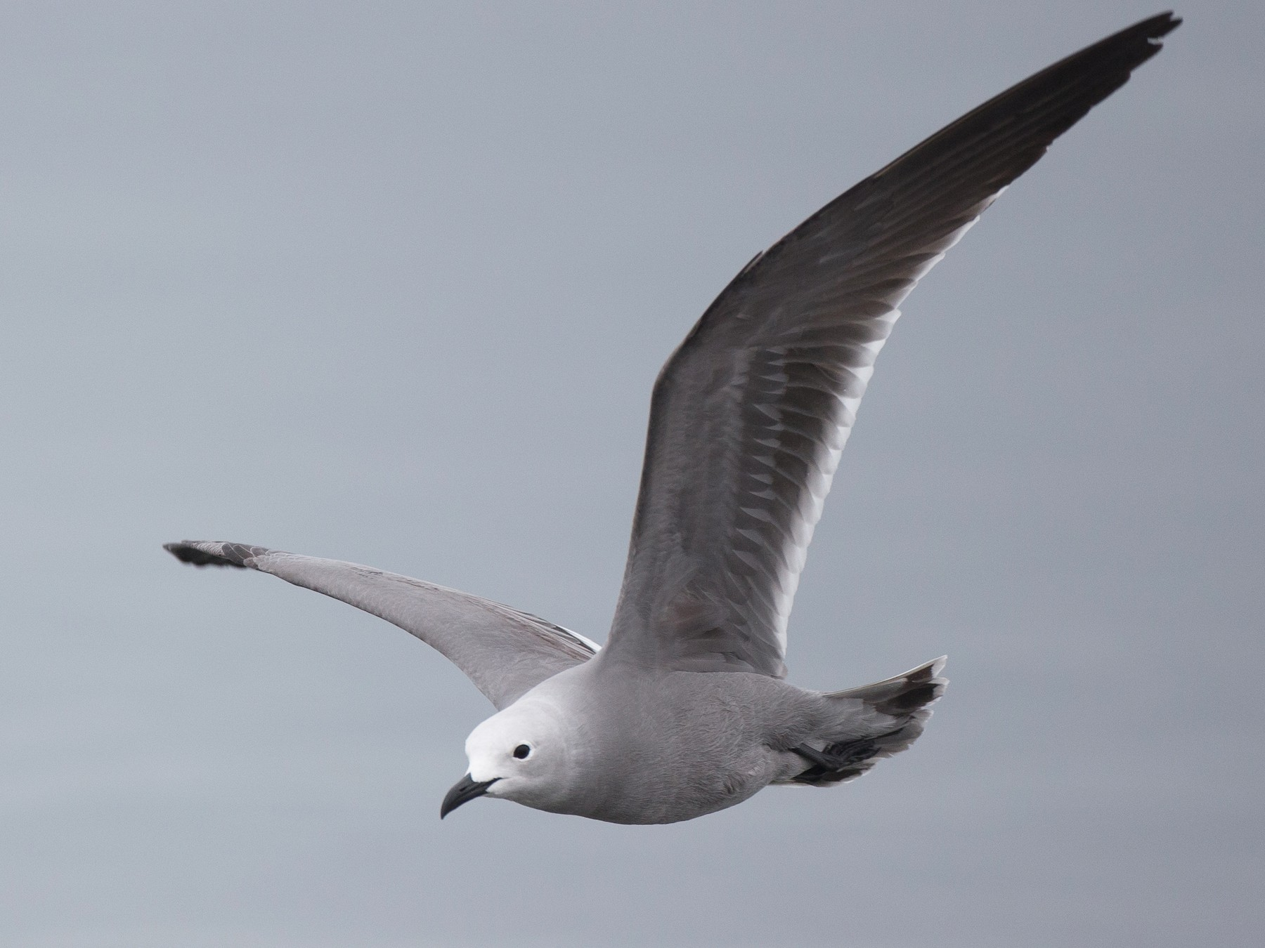 Gray Gull - Chris Wood