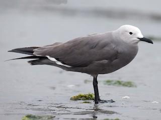 - Gray Gull