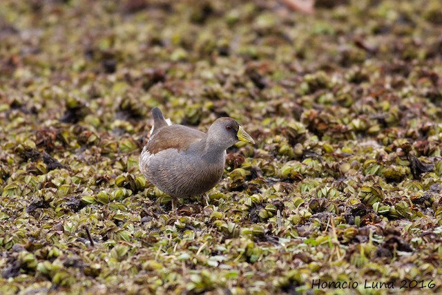 Spot-flanked Gallinule