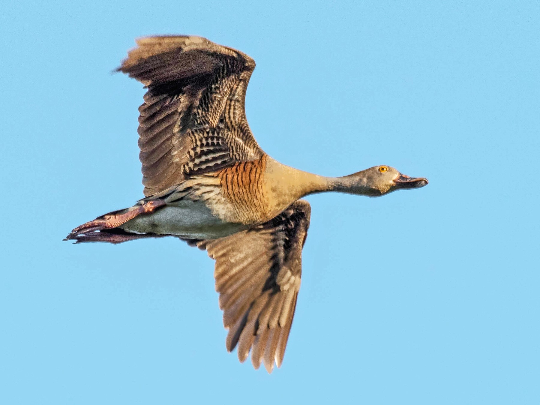 Plumed Whistling-Duck - Terence Alexander