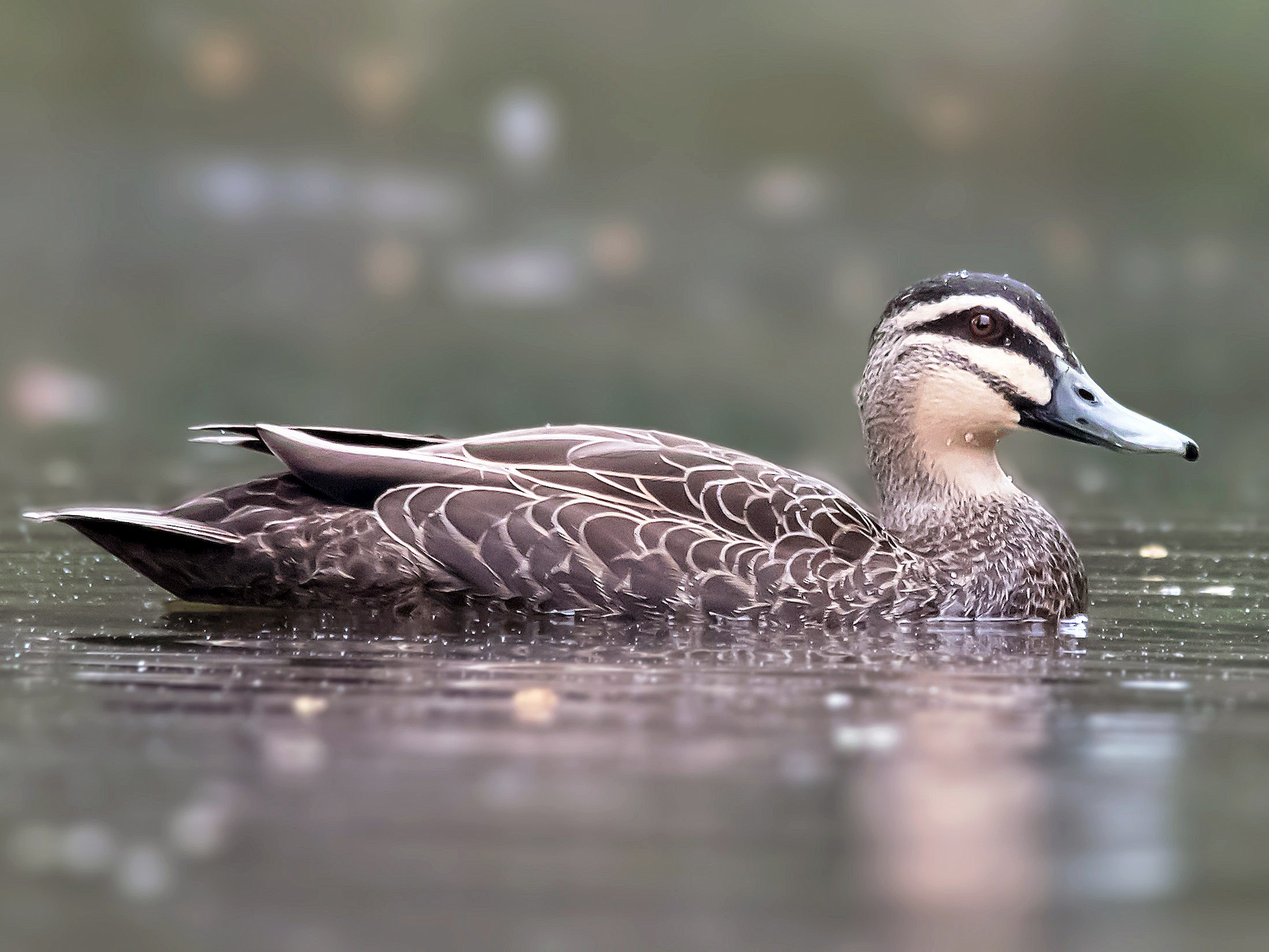 Pacific Black Duck - Andrew Allen